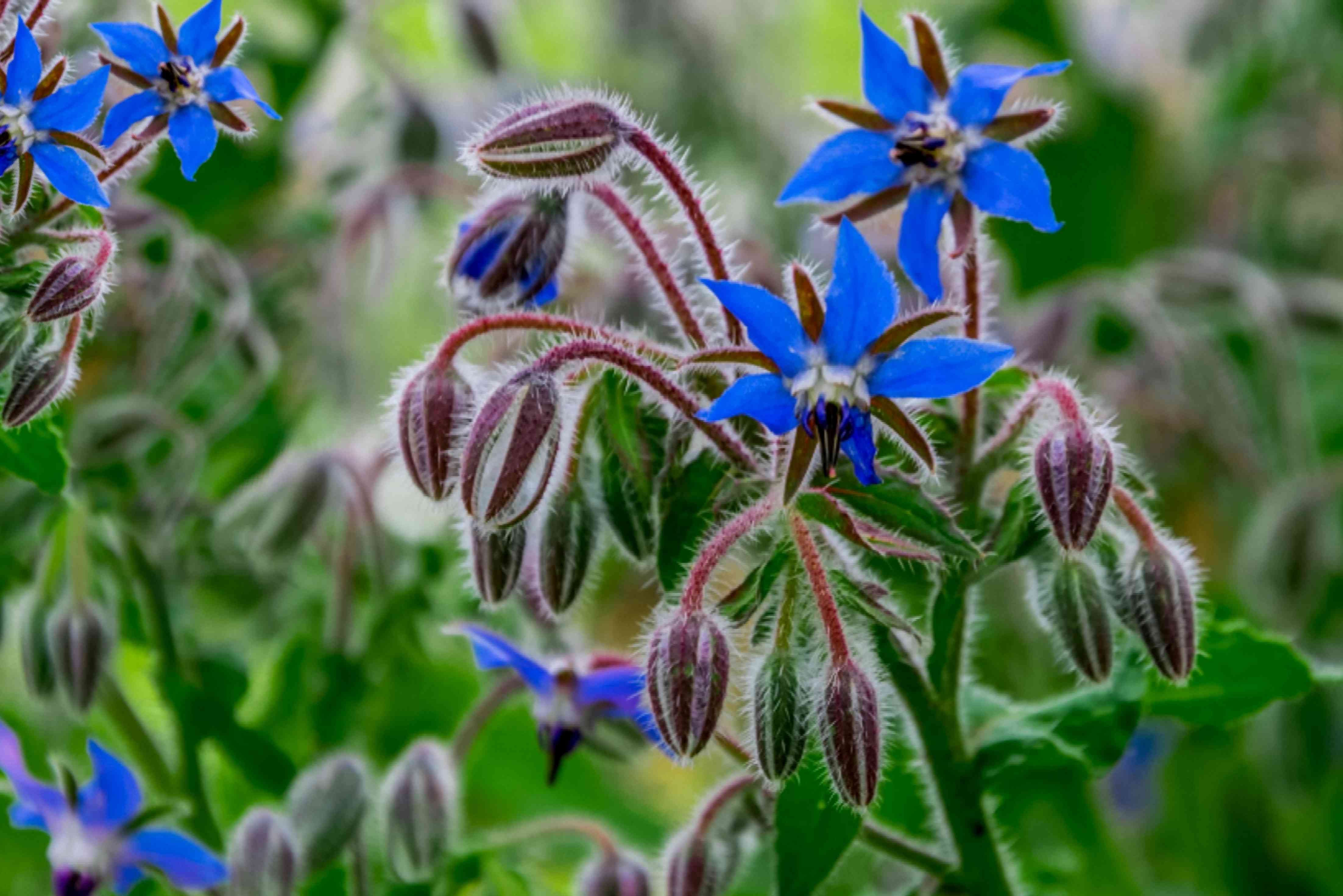 Borage plant with purple buds and two blue flowers on stem