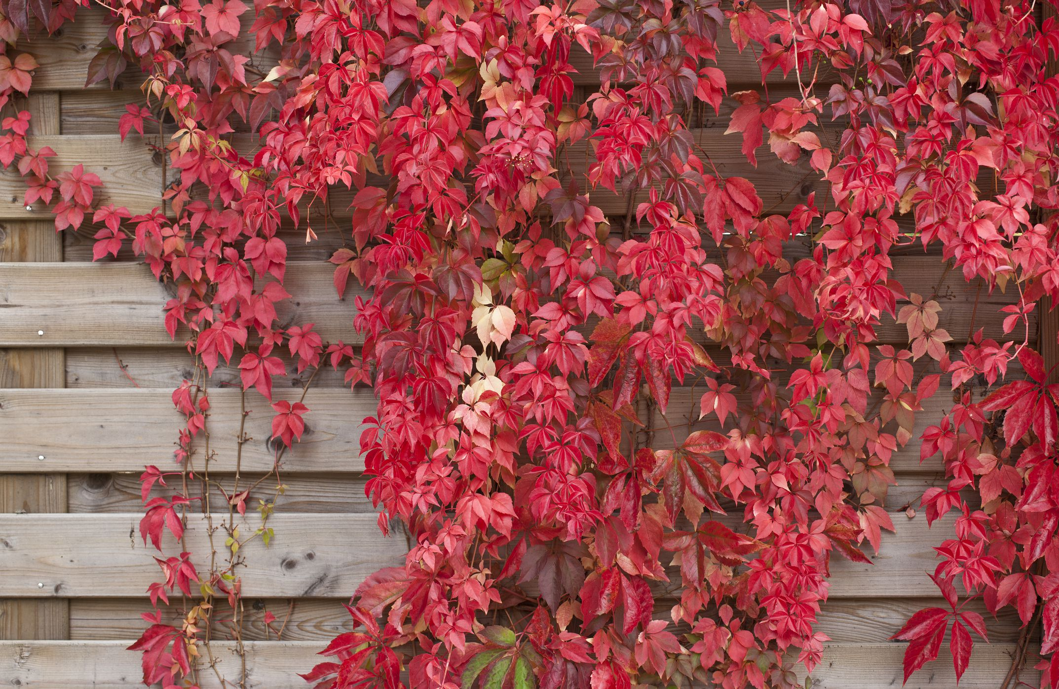 14 Great Shrubs And Vines For Fall Color
