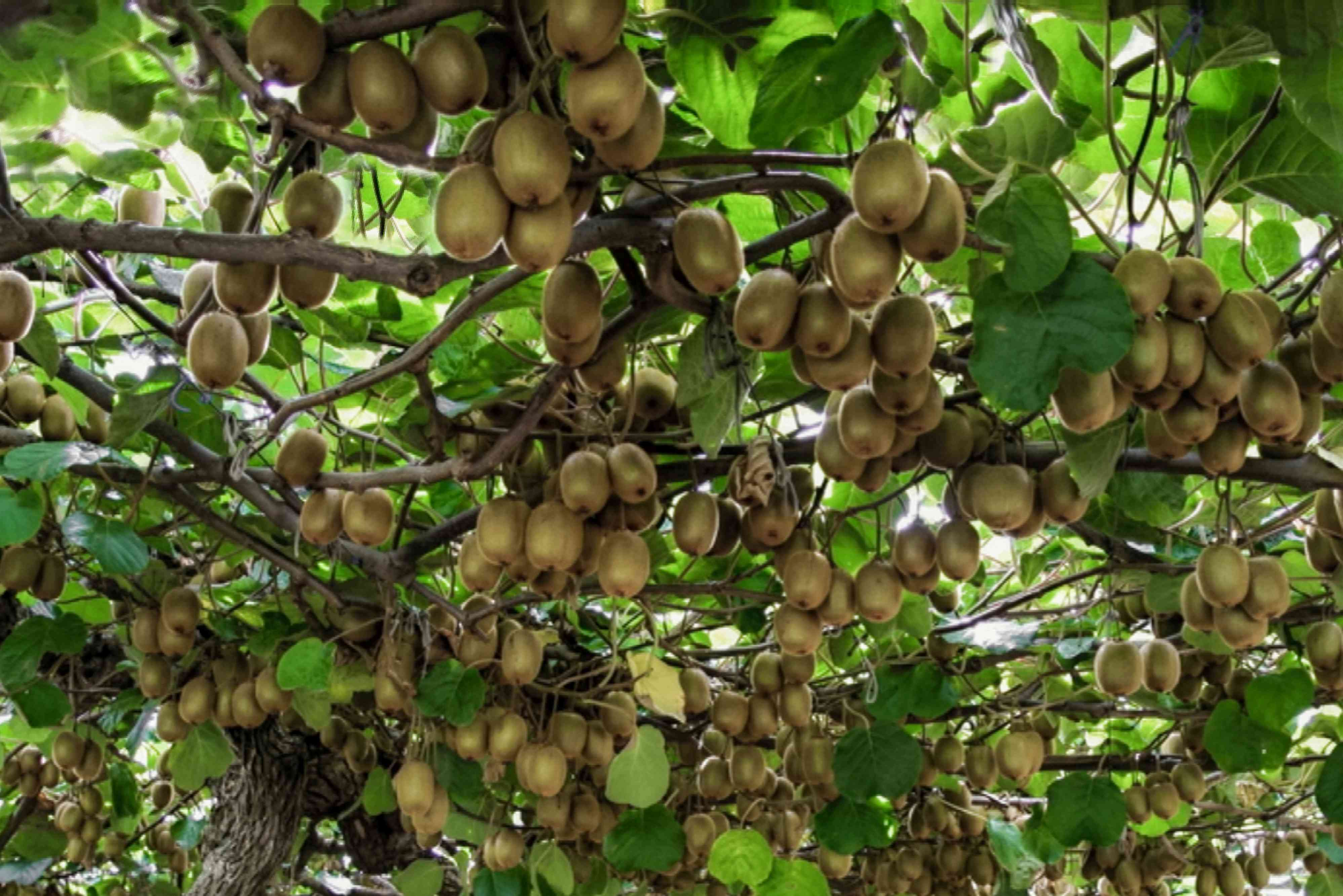 Brown kiwifruit hanging from woody vines and leaves