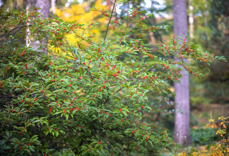 Common winterberry shrub with small scarlet berries on branches with narrow leaves in wooded area