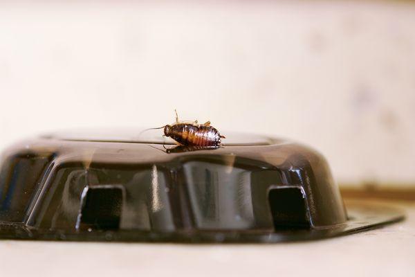 roach on a poisonous bait trap