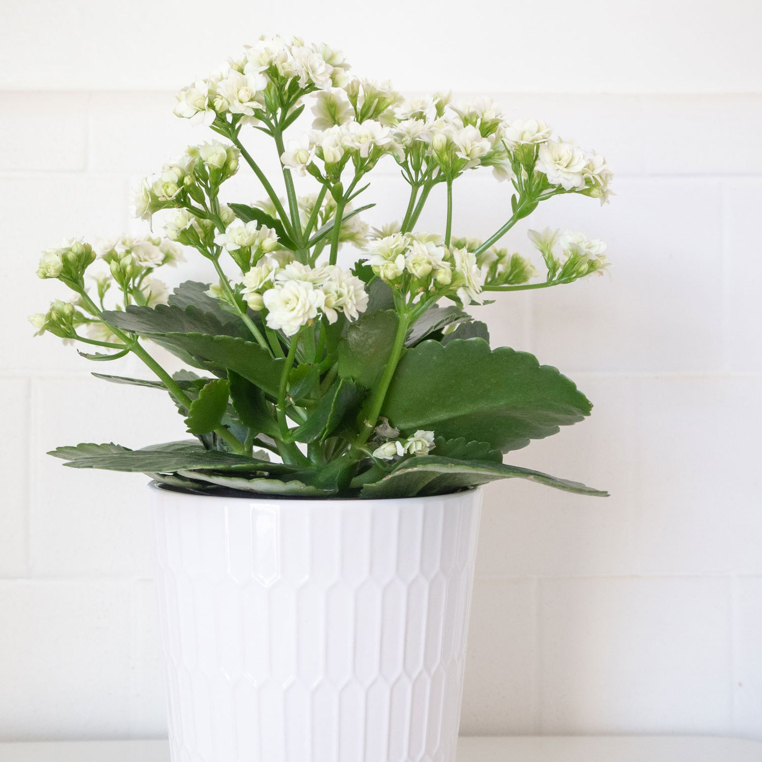 Kalanchoe: Indoor Plant Care & Growing Guide