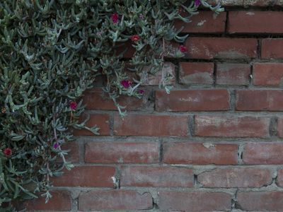 Succulent Vine on Red Brick Wall