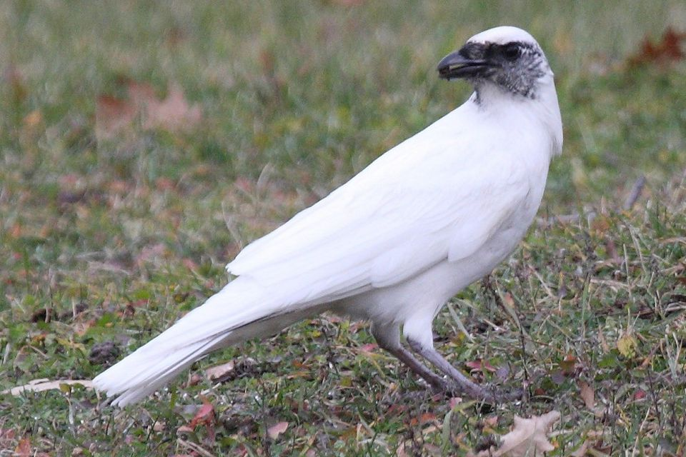 Leucistic American Crow