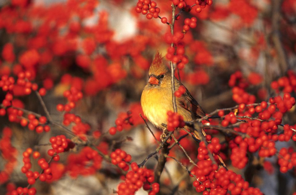 Female cardinal in a winterberry holly
