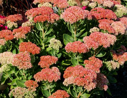 Top 15 fall blooming flowers for a perennial garden bring joy to your fall yard with autumn joy perennial plants mightylinksfo