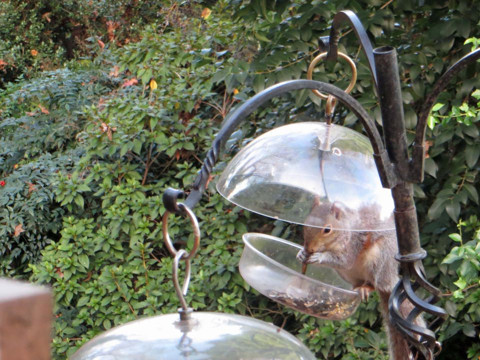 A squirrel in a bird feeder