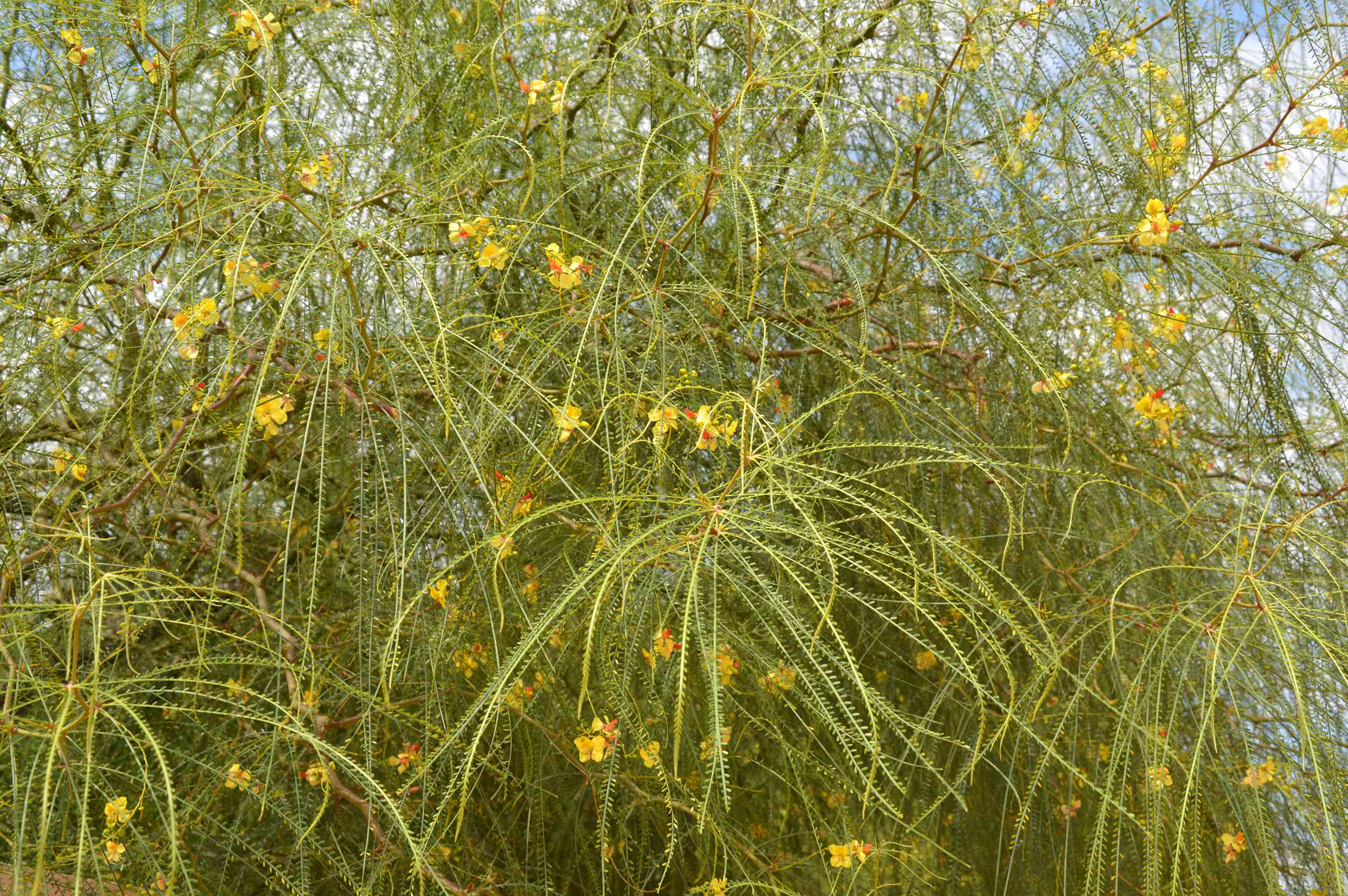 The bright yellow flowers on a Mexican palo verde (Parkinsonia aculeata)