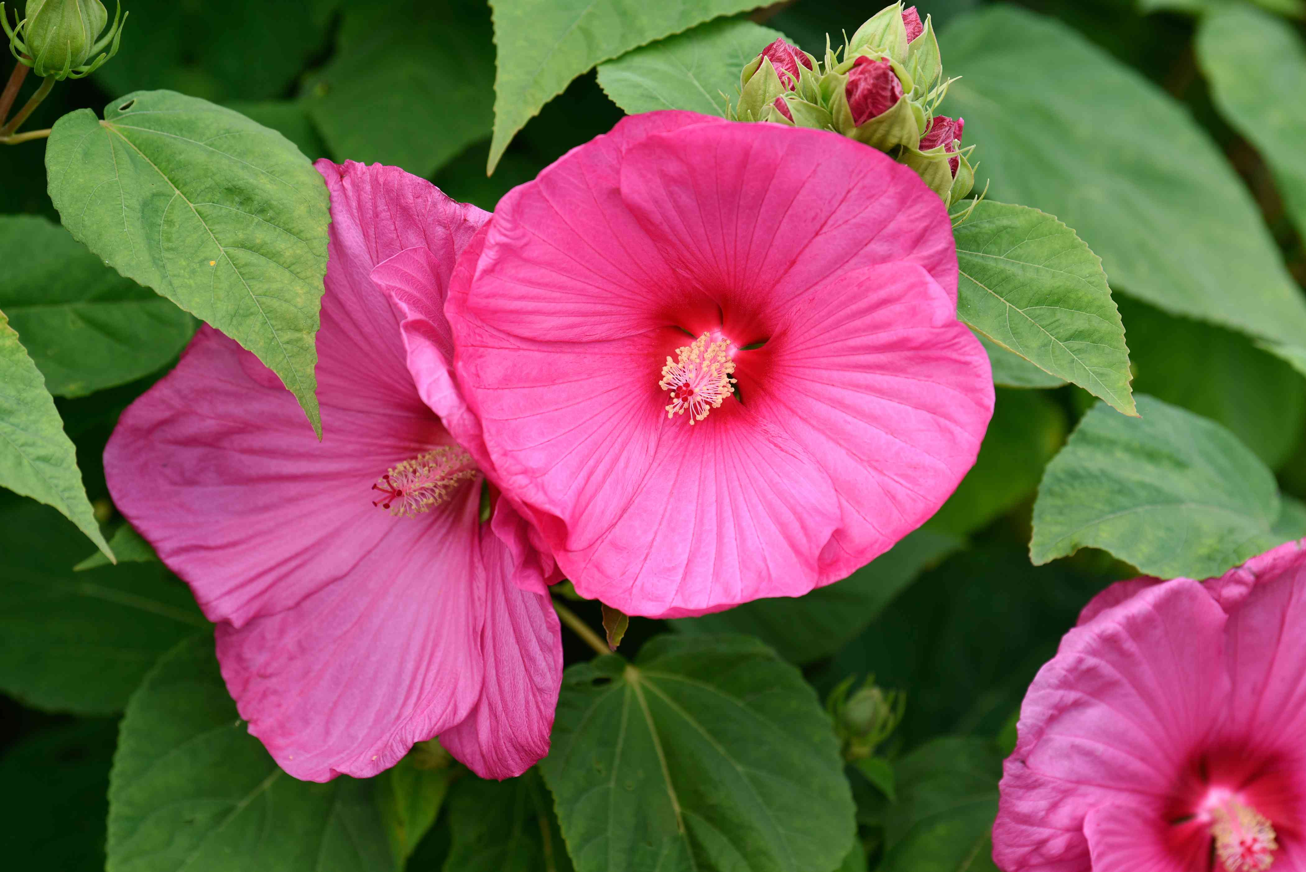 Hardy hibiscus plant with pink trumpet-like flowers and buds clustered between leaves closeup