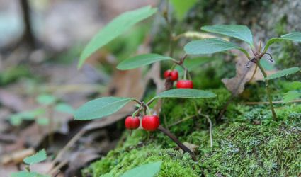 Wintergreen Plants Growing in Forest