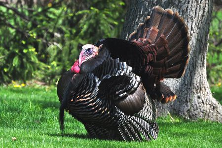 tom turkey wild turkey tom
