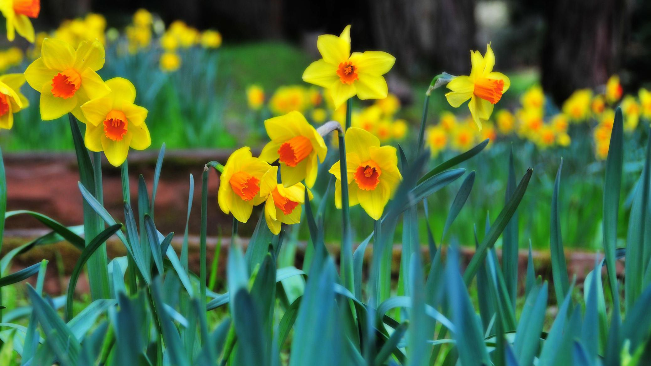 Daffodils Plant Care Growing Guide