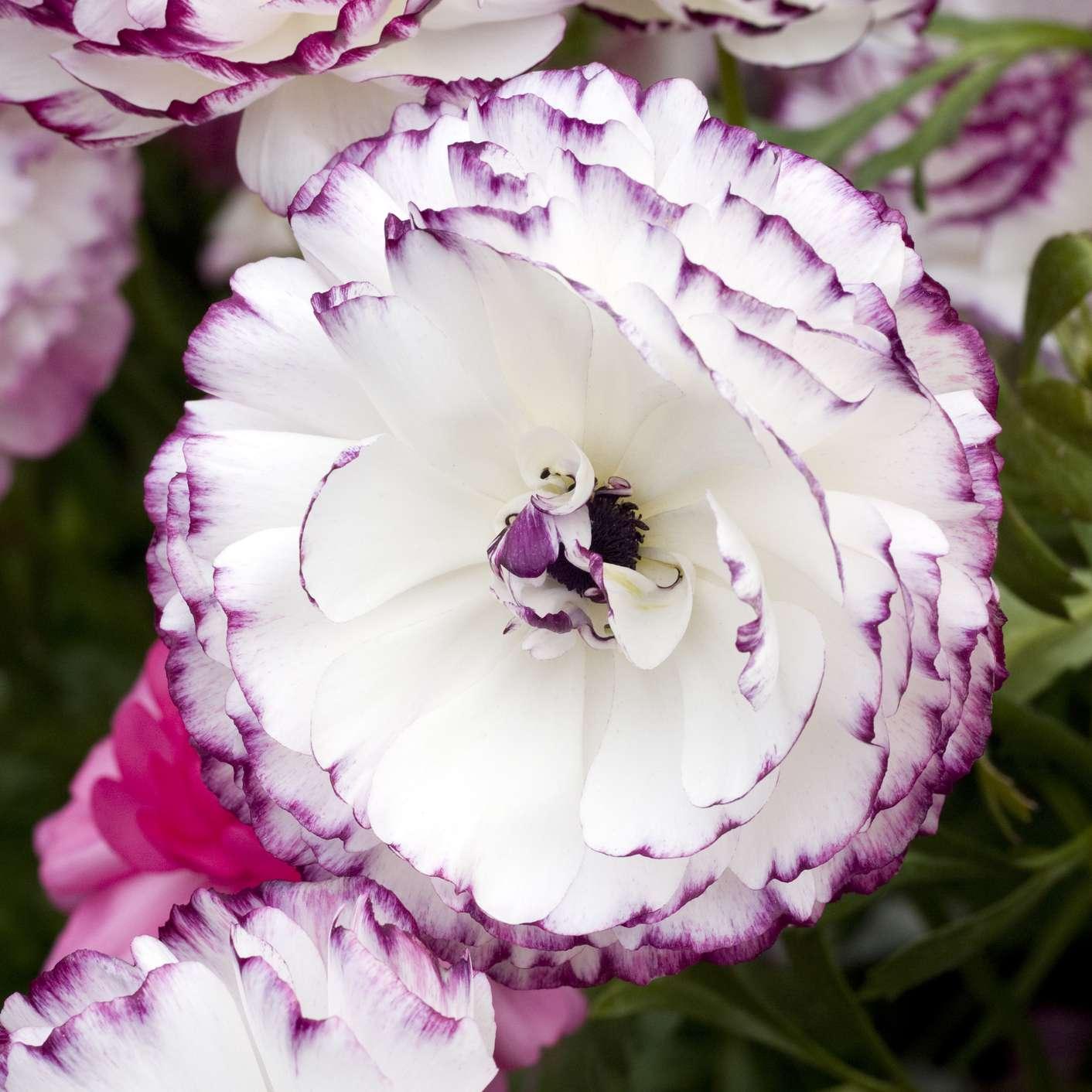 Purple Picotee Ranunculus