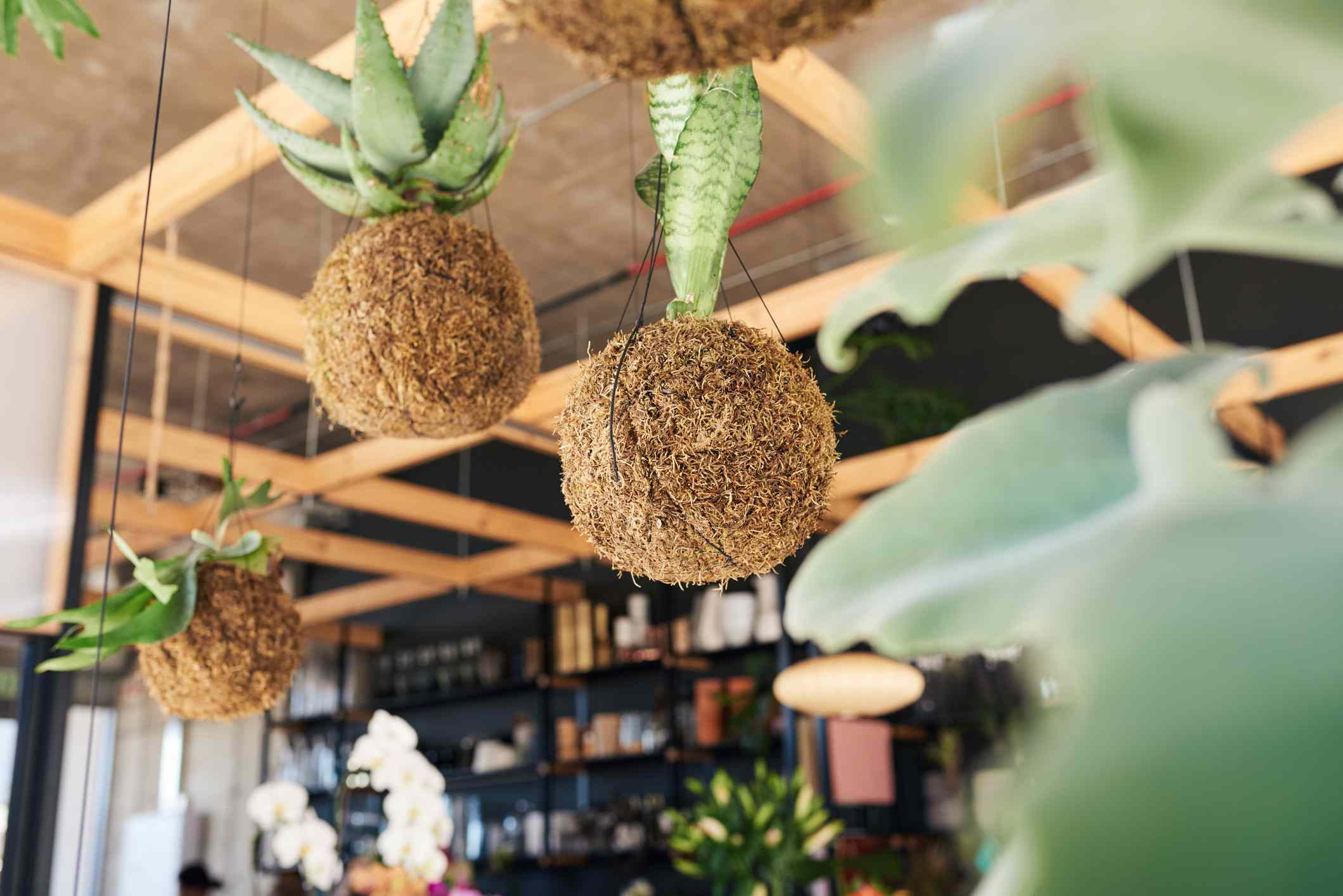 Kokedama moss balls with plants hang from a flower shop ceiling.