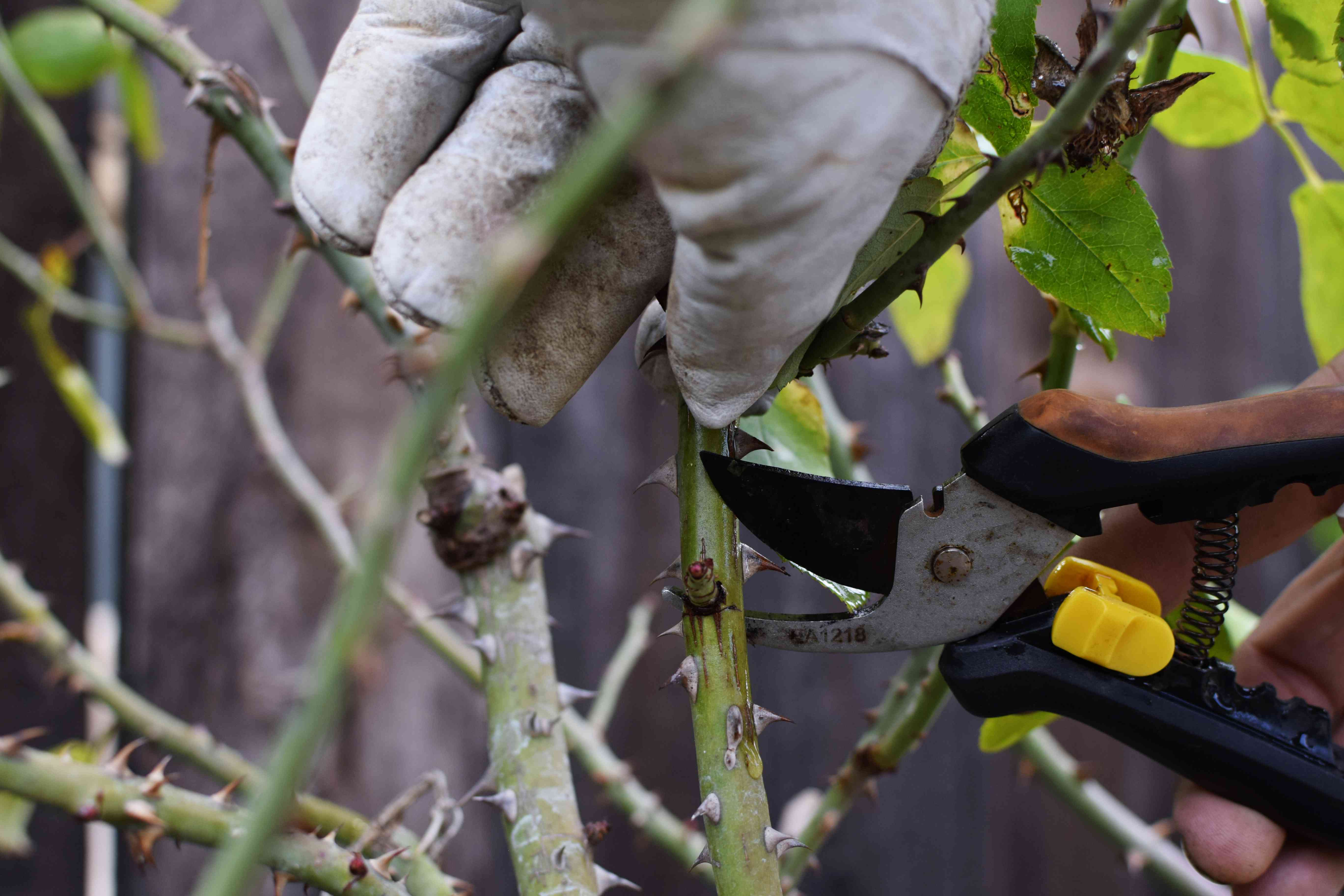 Rose stems pruned bu sharp pruner for spring growth