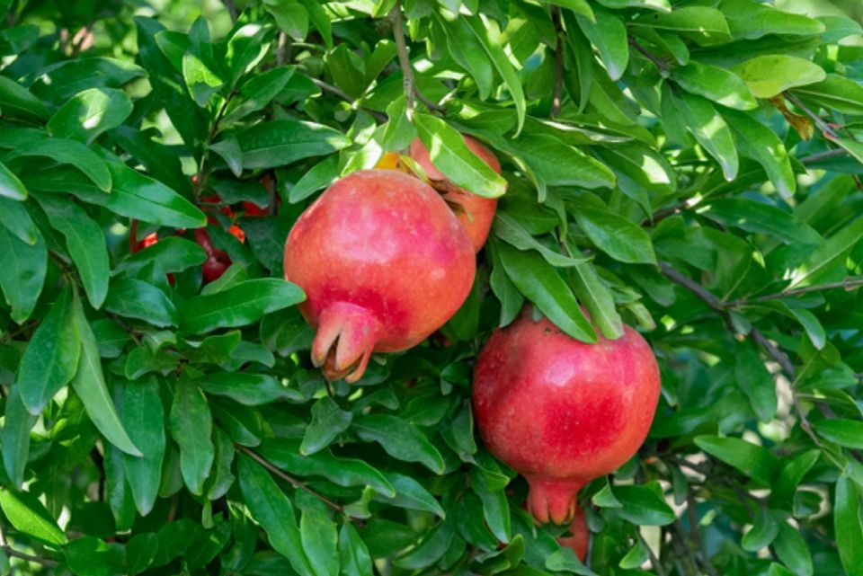 Pomegranate tree with leathery red circular fruit hanging in branches