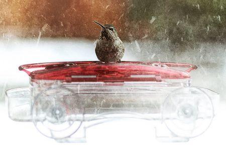 Winter Hummingbird Feeding and Nectar Tips