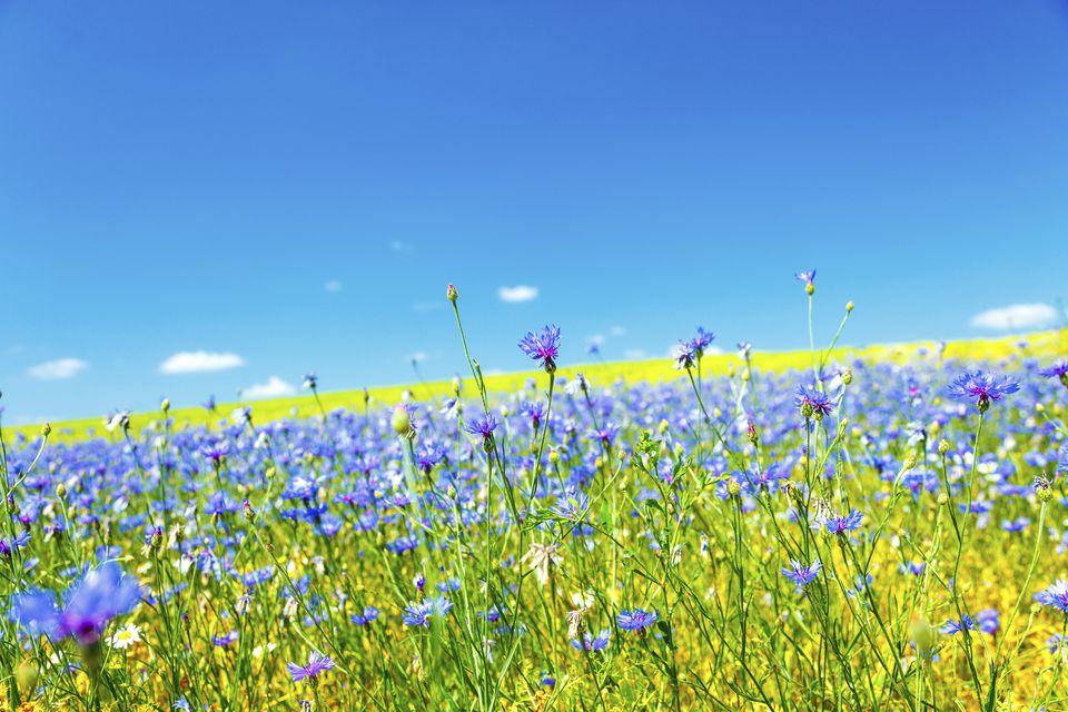 Field of cornflowers (Centaurea cyanus).