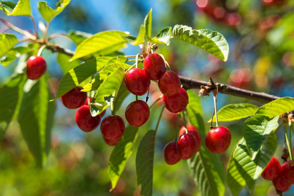 Bright red cherries on a tree branch with full green leaves.