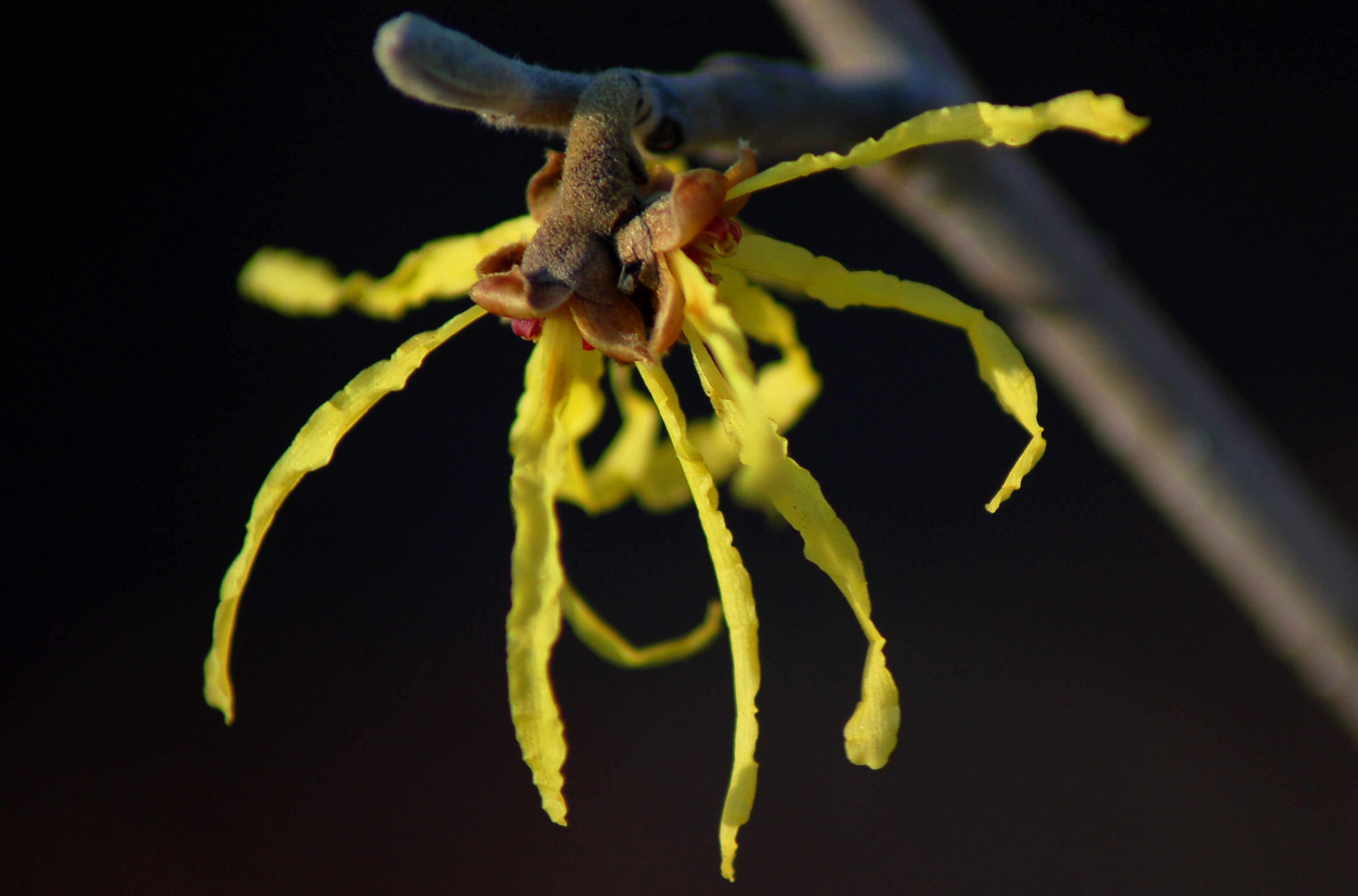 Witch Hazel Shrubs For Early Blooms