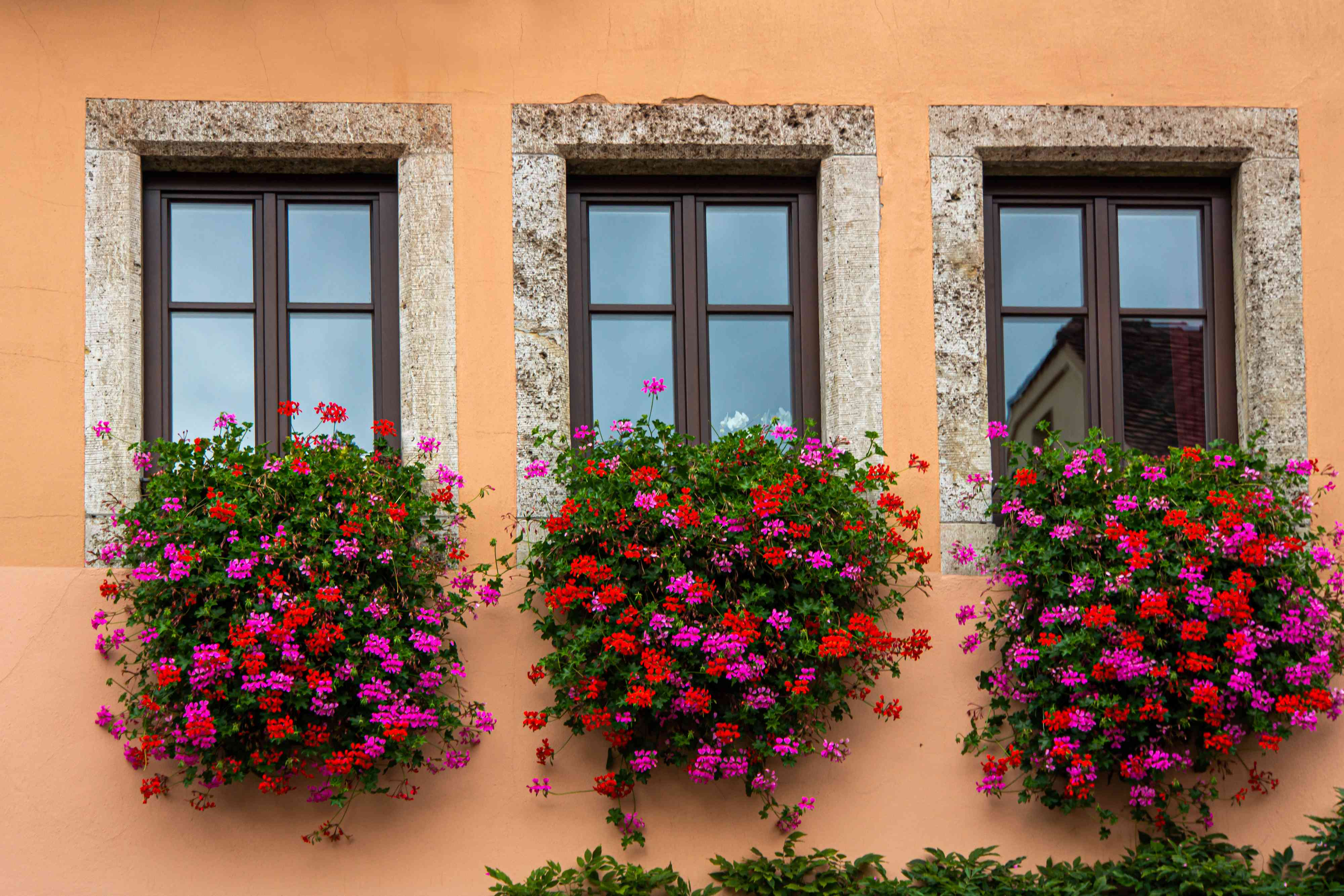 Ivy geranium plants hanging outside window sills with pink and red flowers