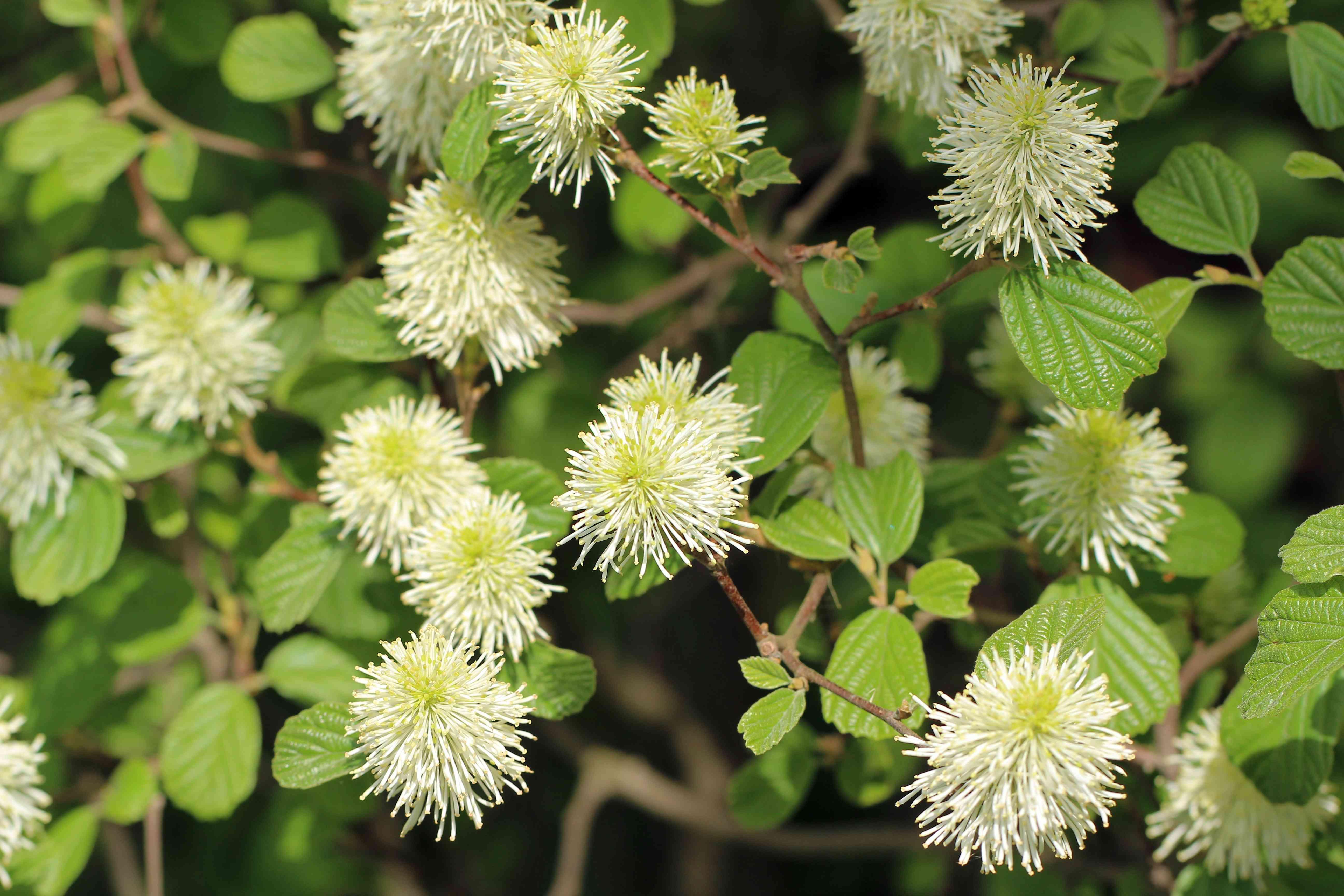 Fothergilla major bush