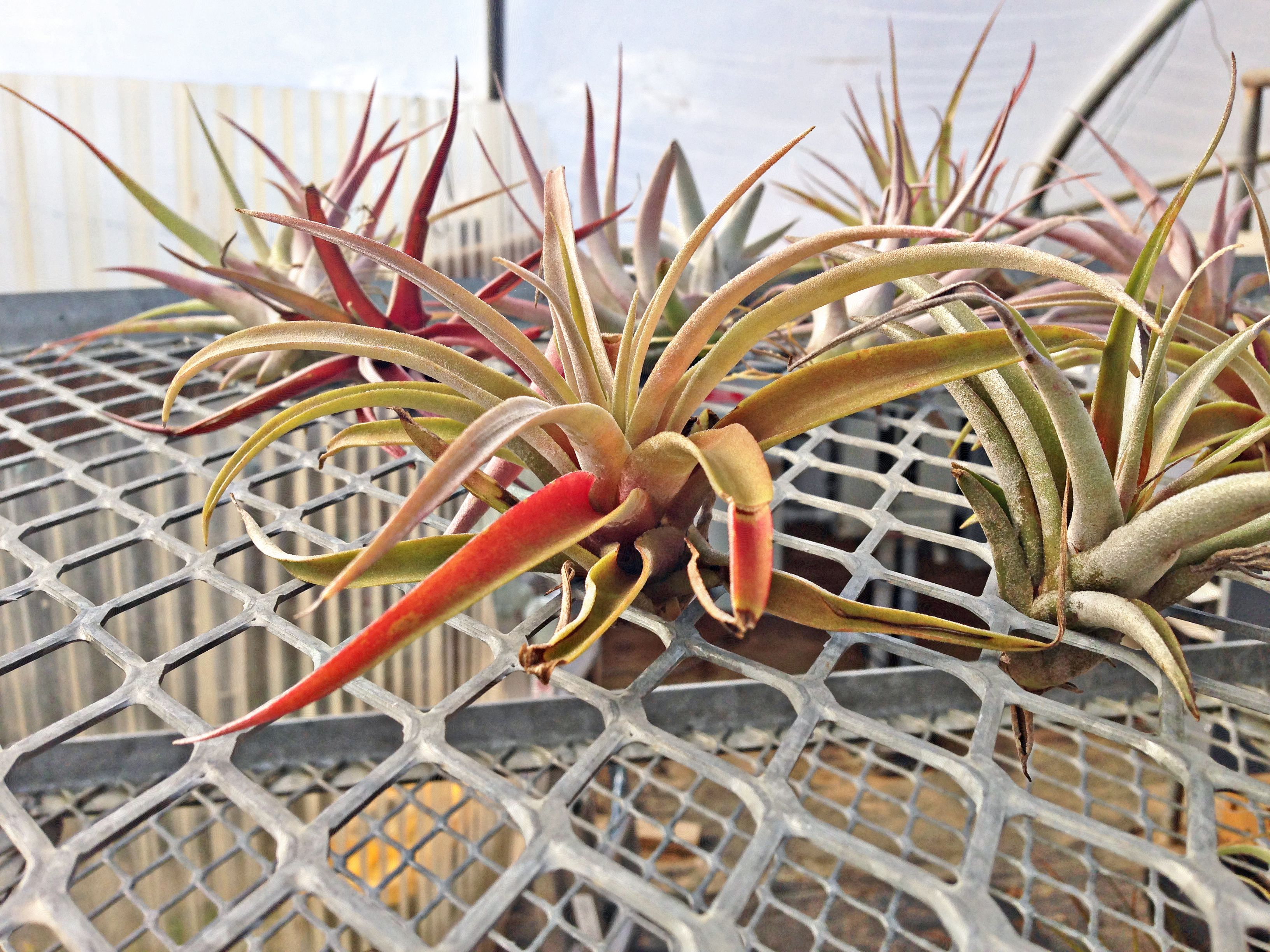 'Peach' air plant with green, yellow, and orange tones