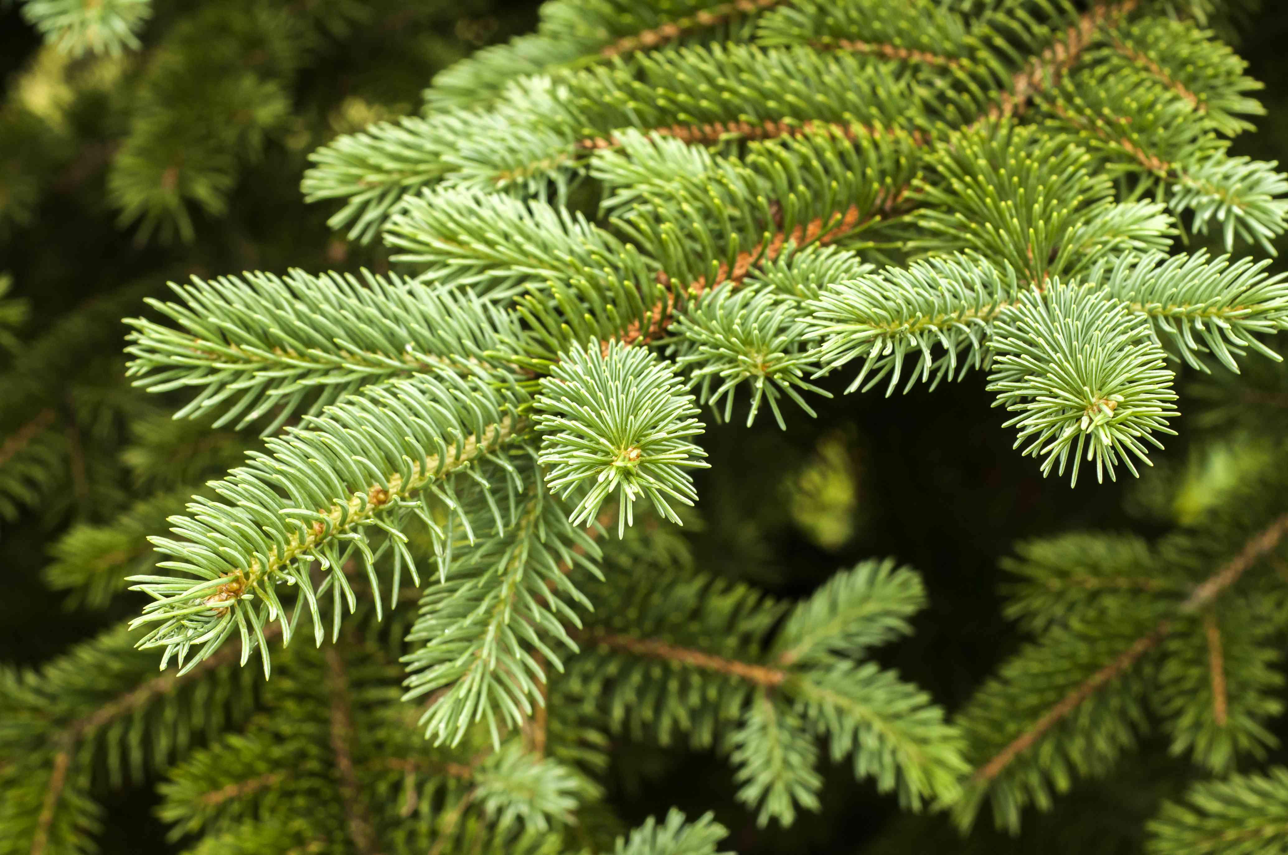 White spruce branch
