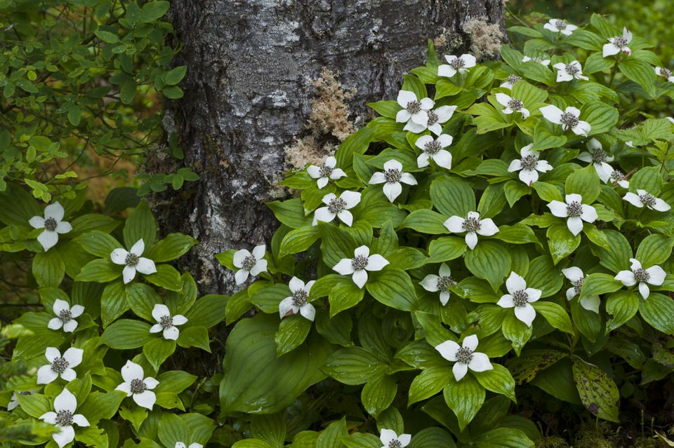 Dwarf Dogwood (Cornus canadensis) or Bunchberry in Olympic National Park, Washington