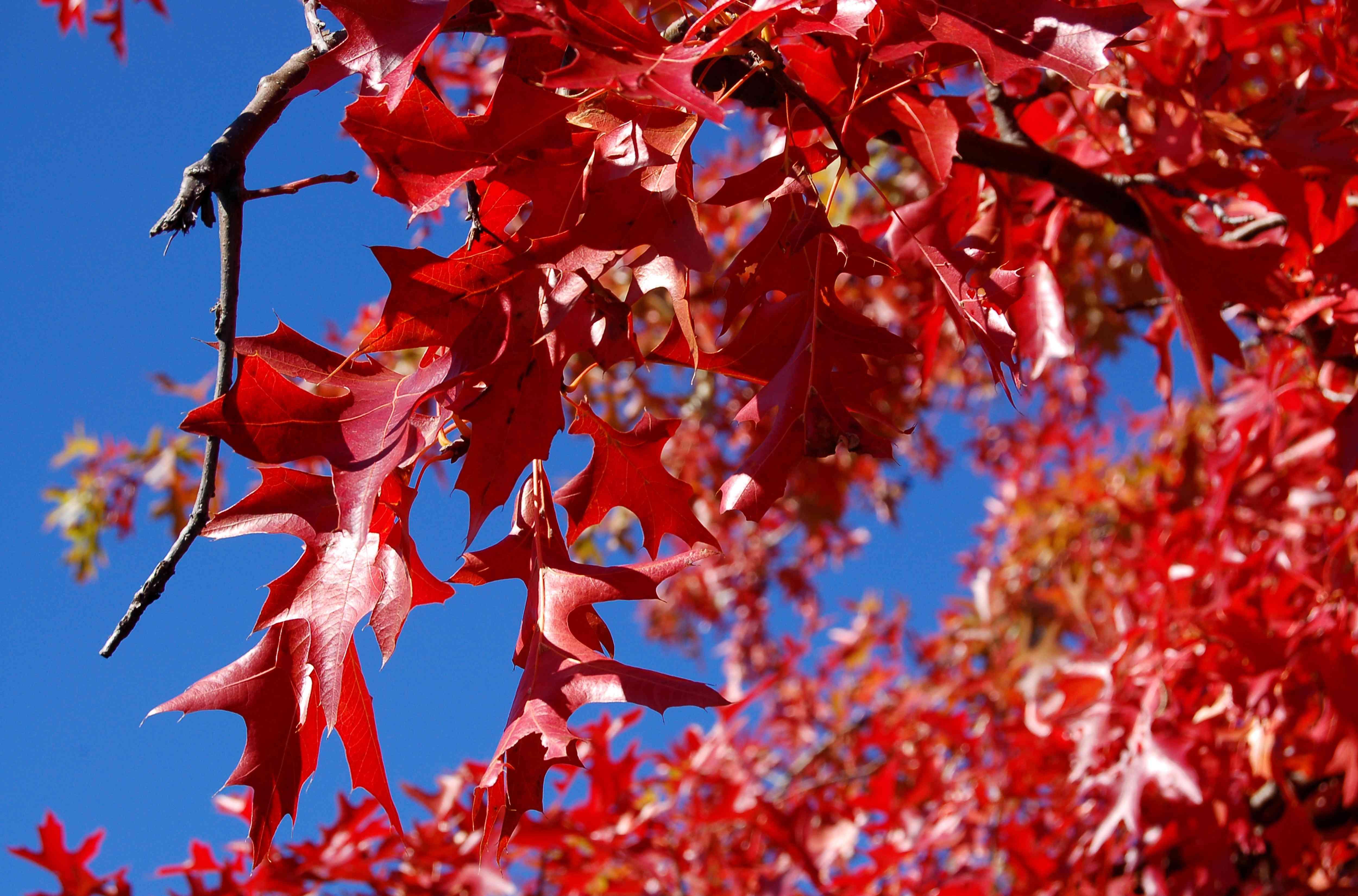Fall foliage of pin oak.