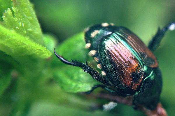 Japanese beetle climbing on a leaf.