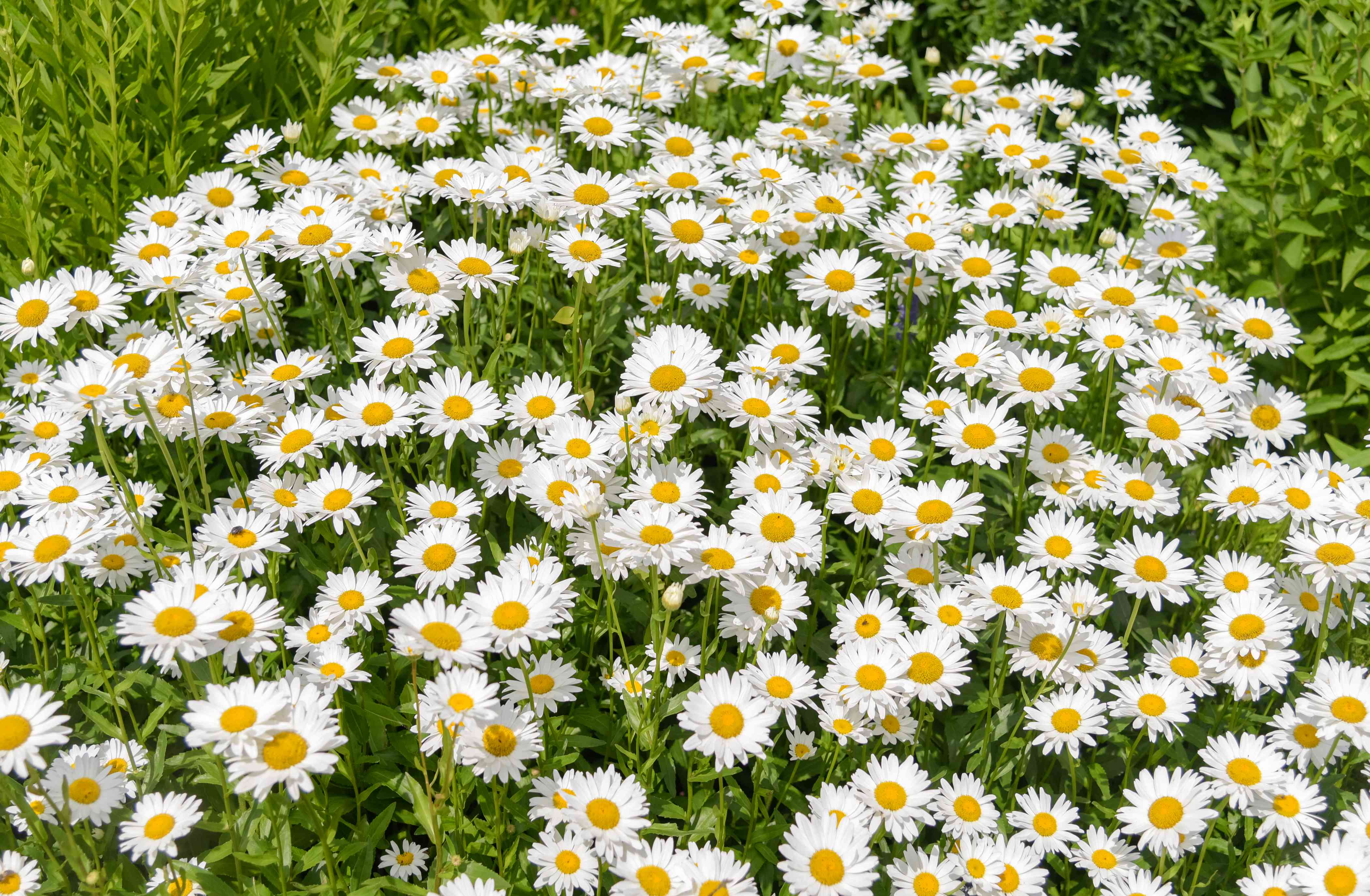 Oxeye daisy flowers clustered together with white radiating petals with yellow centers in sunlight