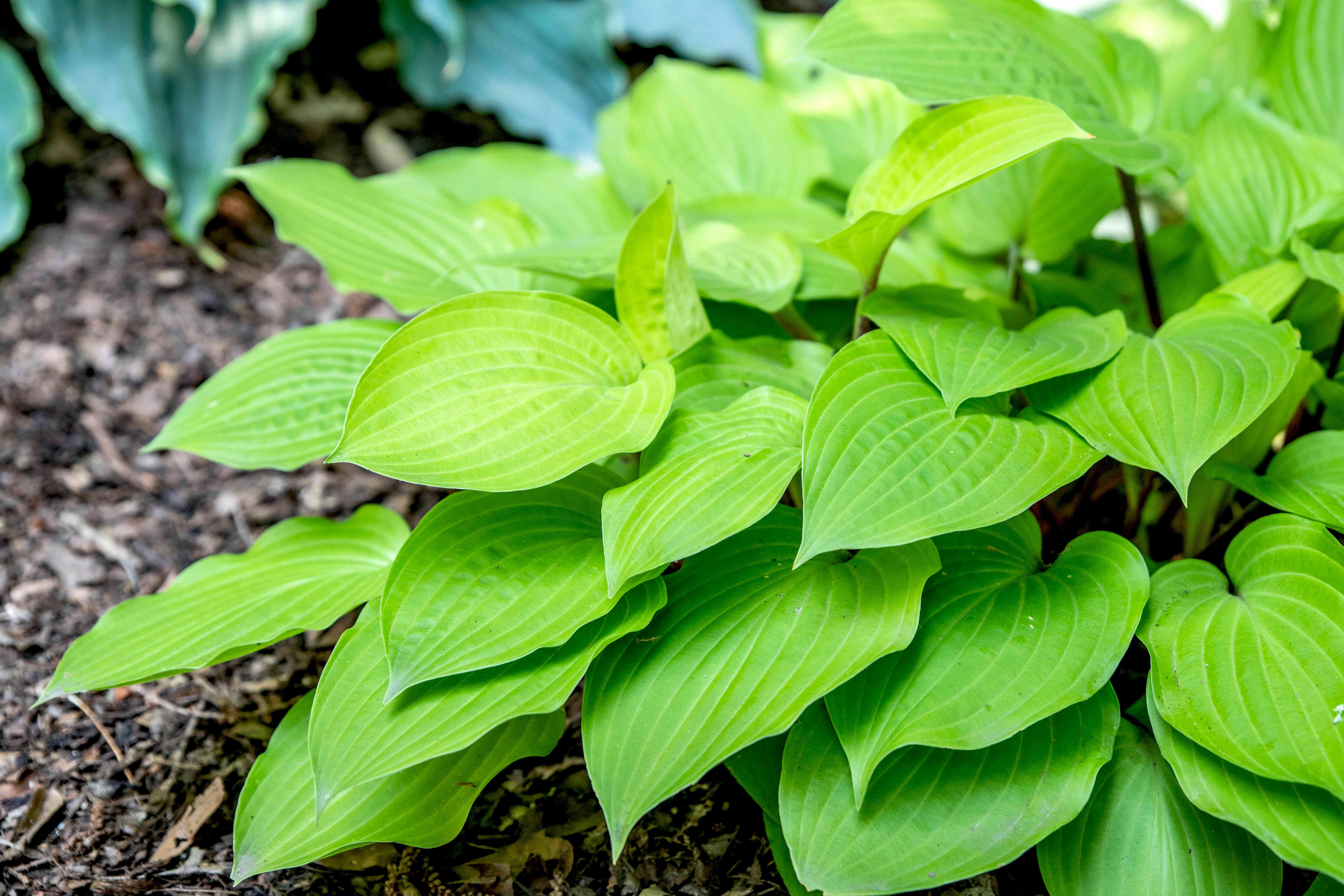 Fire island hosta plant with ribbed bright green leaves planted near the ground