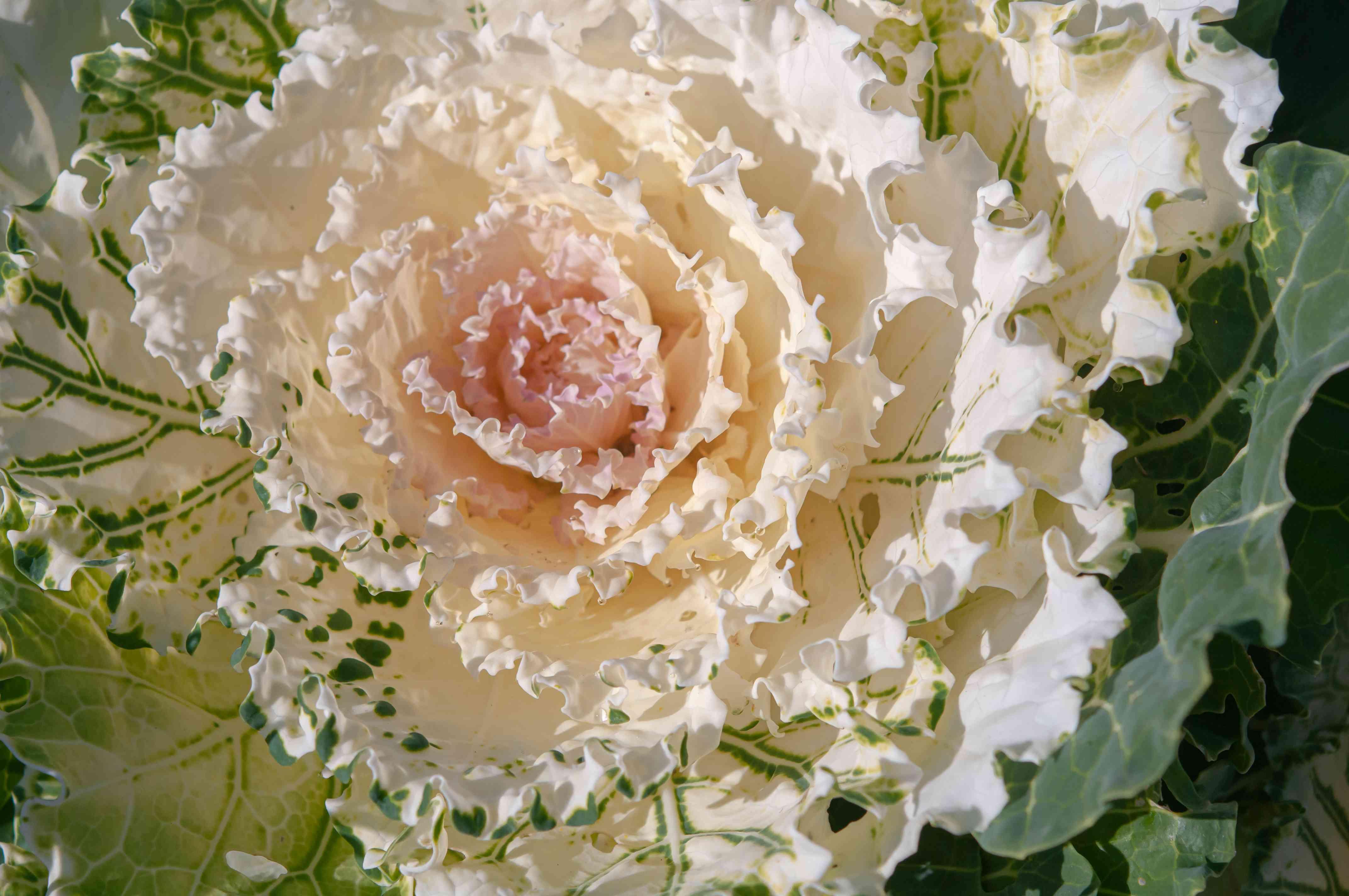 Pigeon white ornamental cabbage with creamy white center closeup