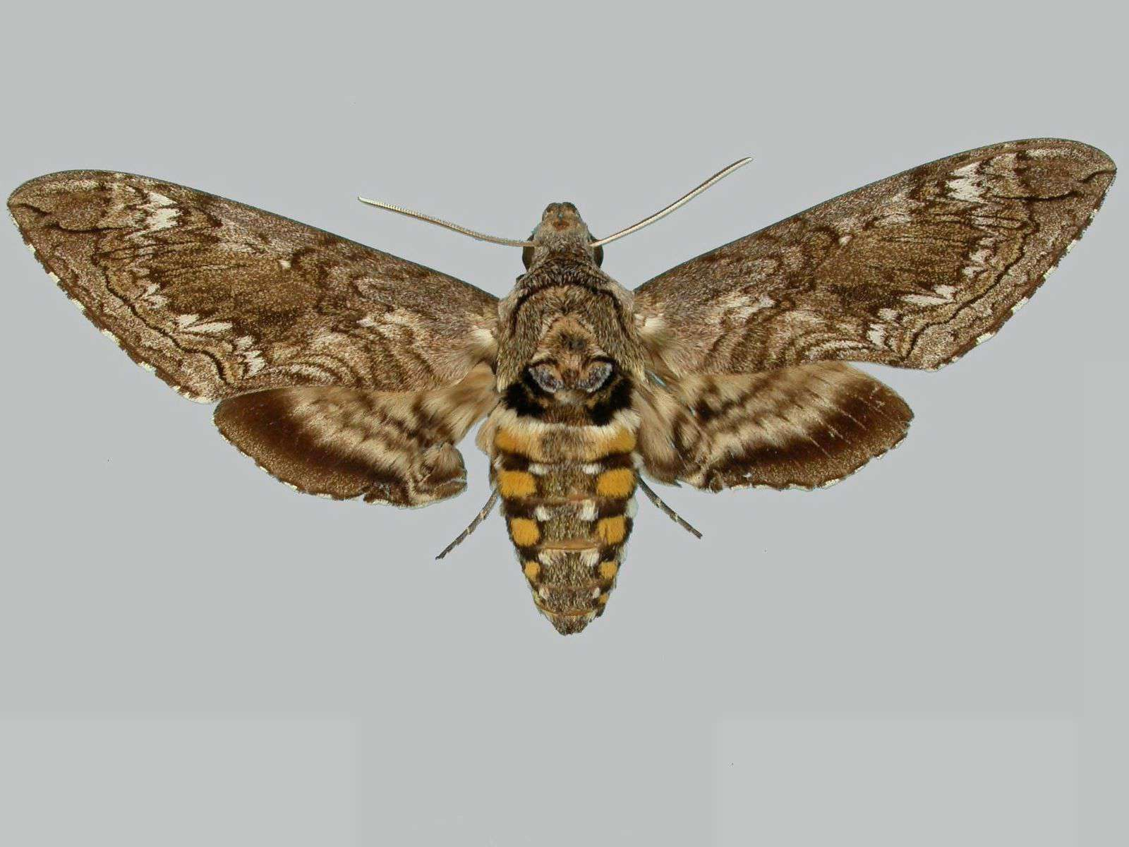 A specimen of Blackburn's sphinx moth on display on a white surface