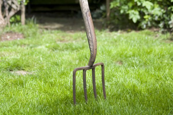 A large garden fork aerating a lawn