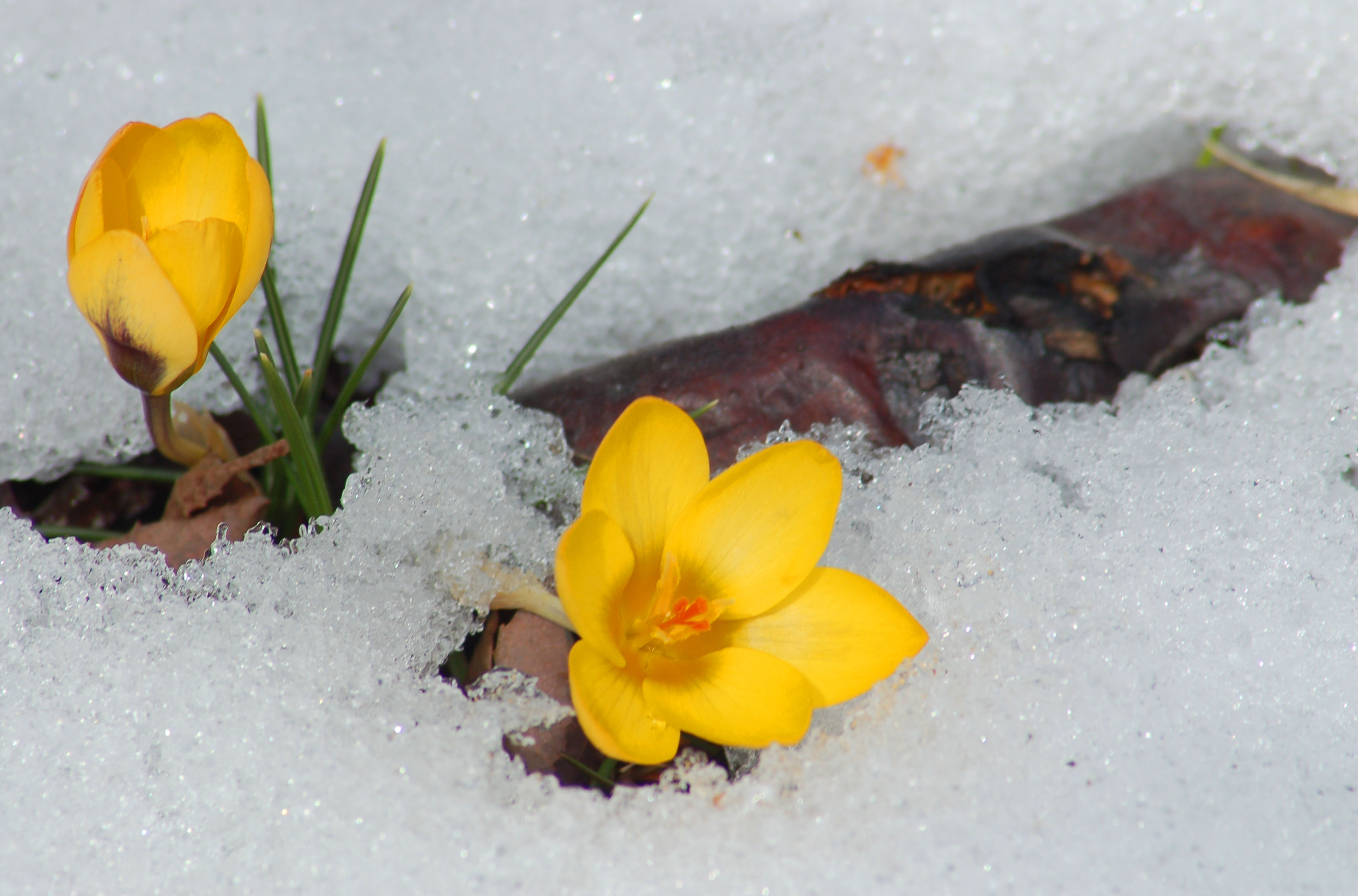 Crocus blooms in early spring, even if there's still snow.