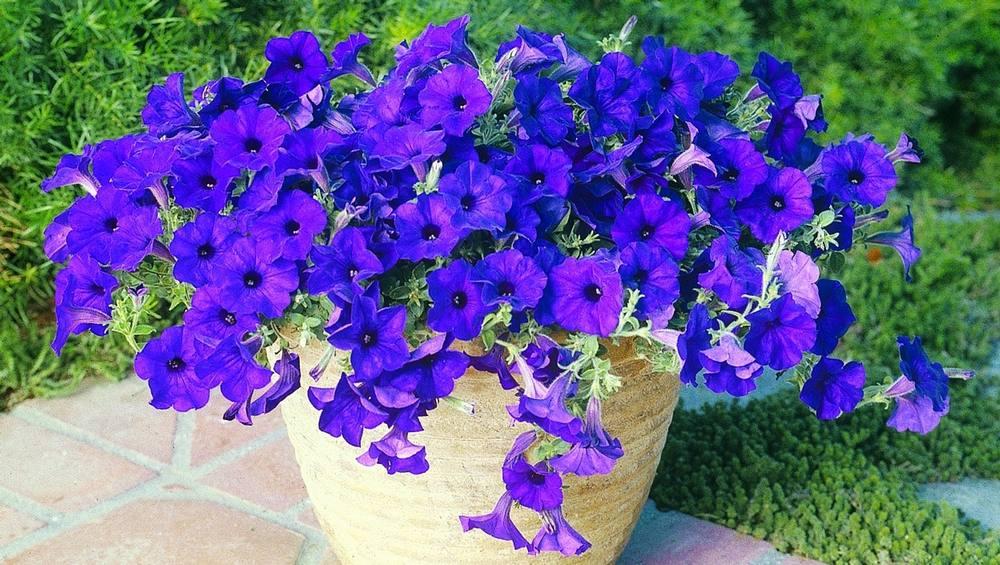 'Wave Blue' petunias in a purplish-blue shade