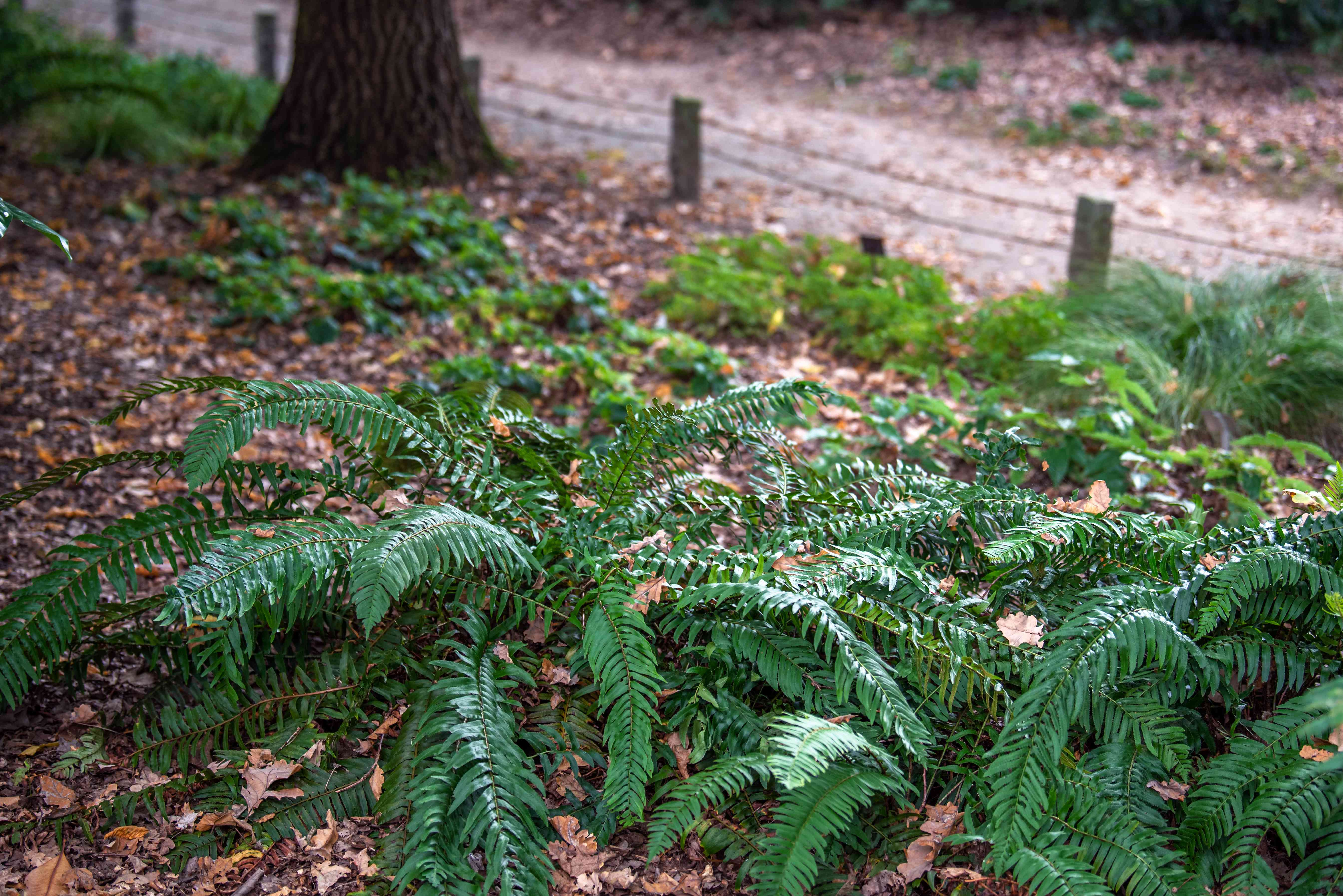 Western sword fern plant growing with long fronds surrounded by dead leaves