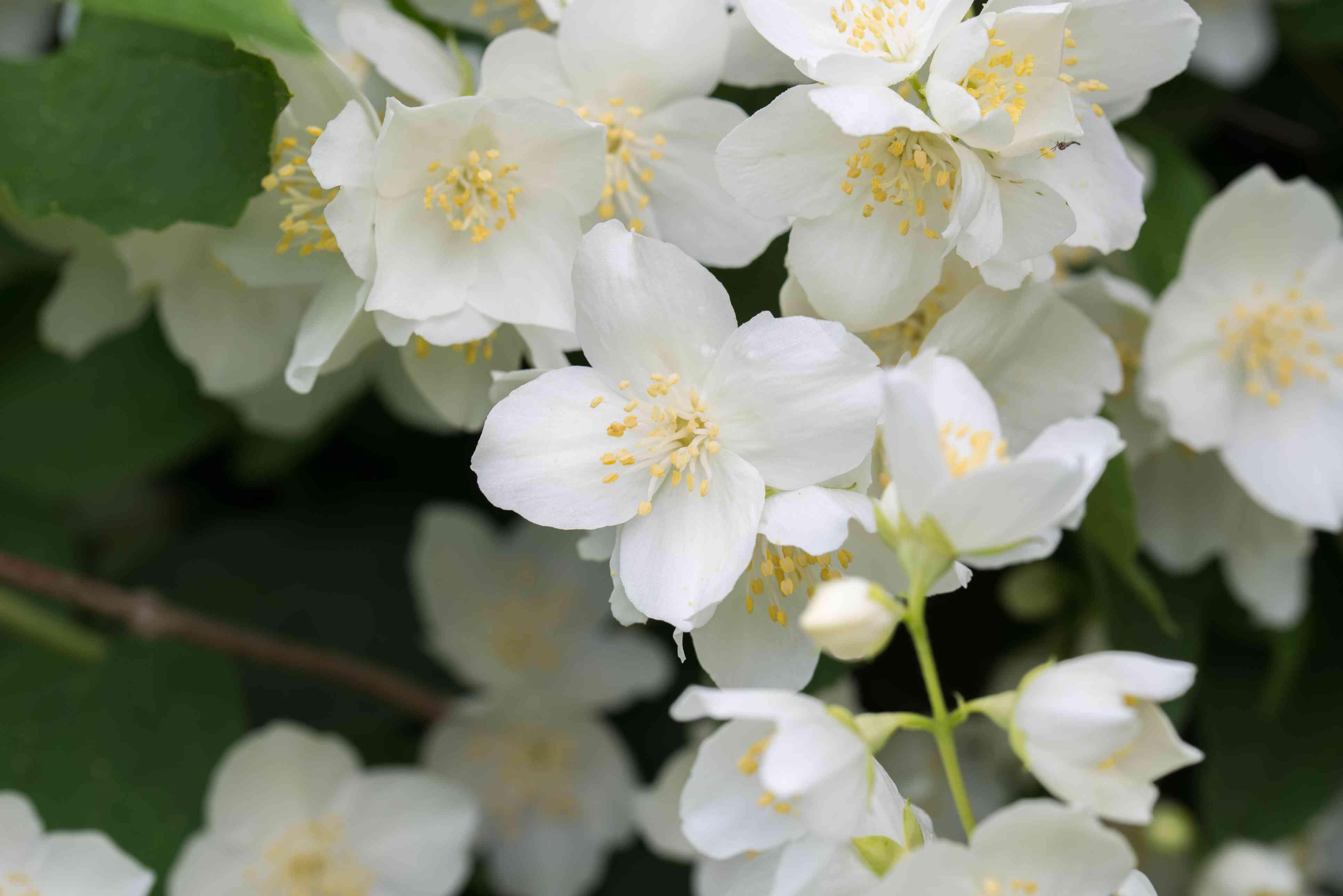 Philadelphus coronarius (sweet mock-orange, English dogwood) white flowers