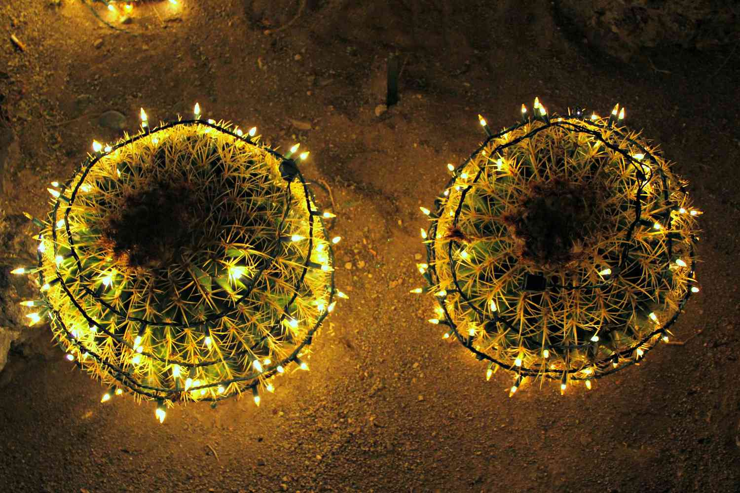 Golden barrel cacti are decorated with string lights.