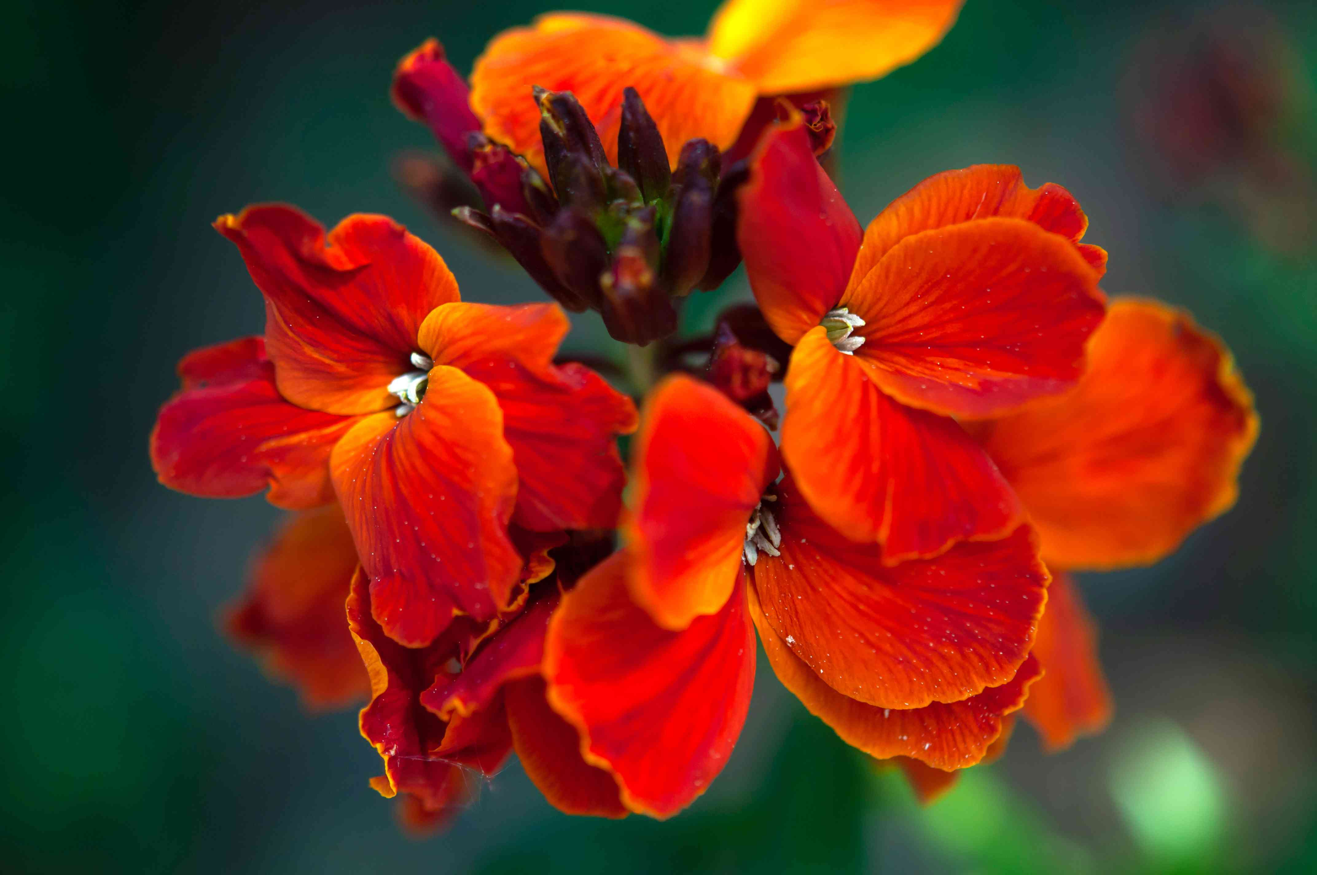 Fire king wallflower plant with red flowers and buds closeup