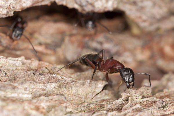 Macro photo of a Carpenter ant, Camponotus herculeanus