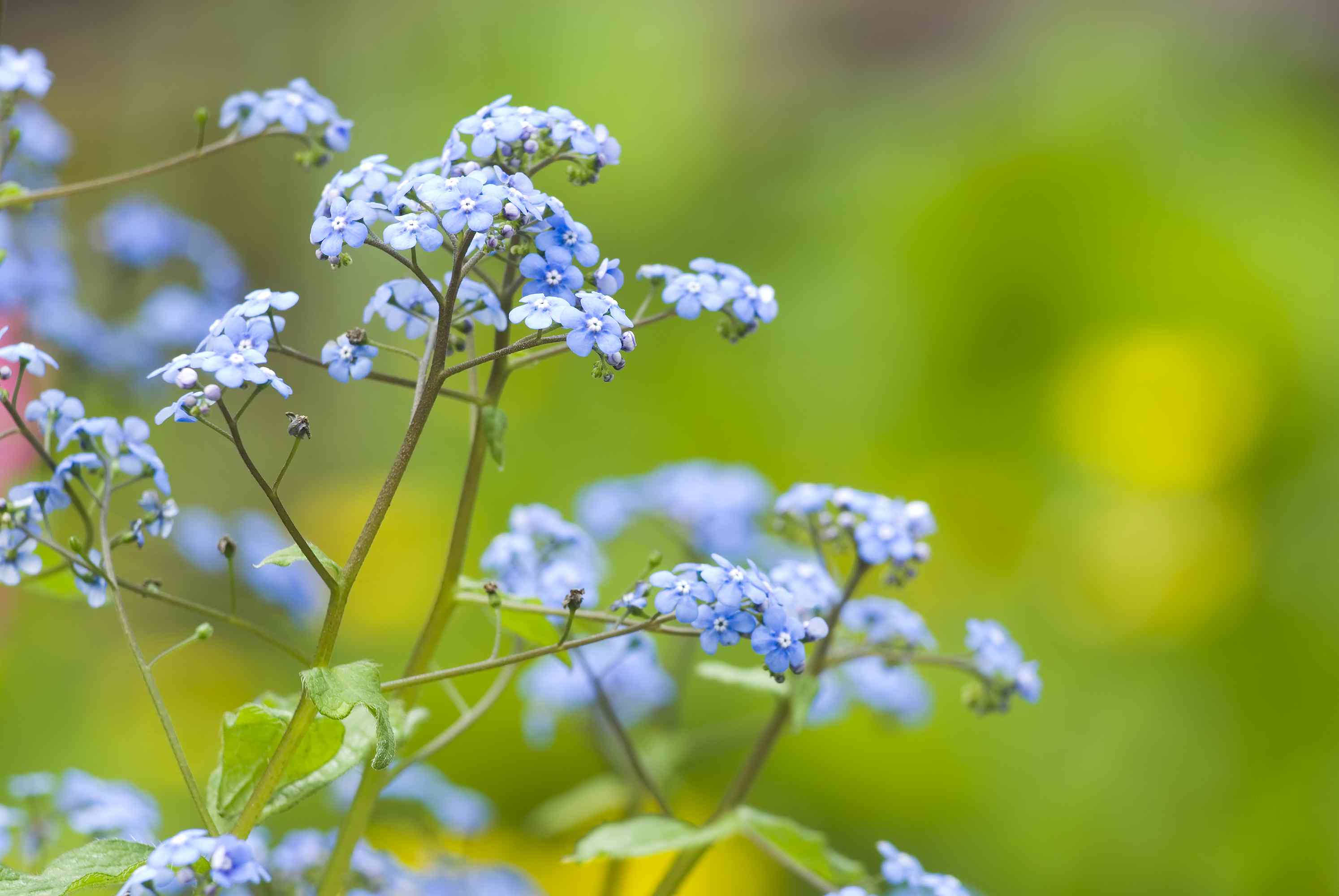 Brunnera macrophylla (Siberian bugloss) - III