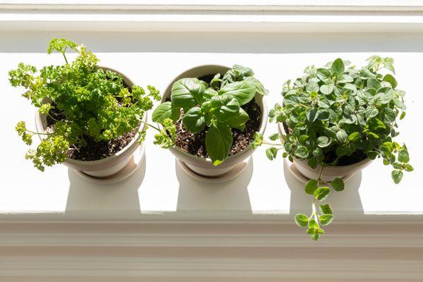 herbs growing on a sunny windowsill