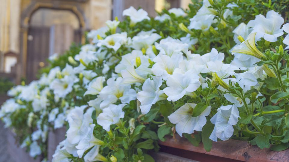 White flowers for your garden petunia white petunias mightylinksfo