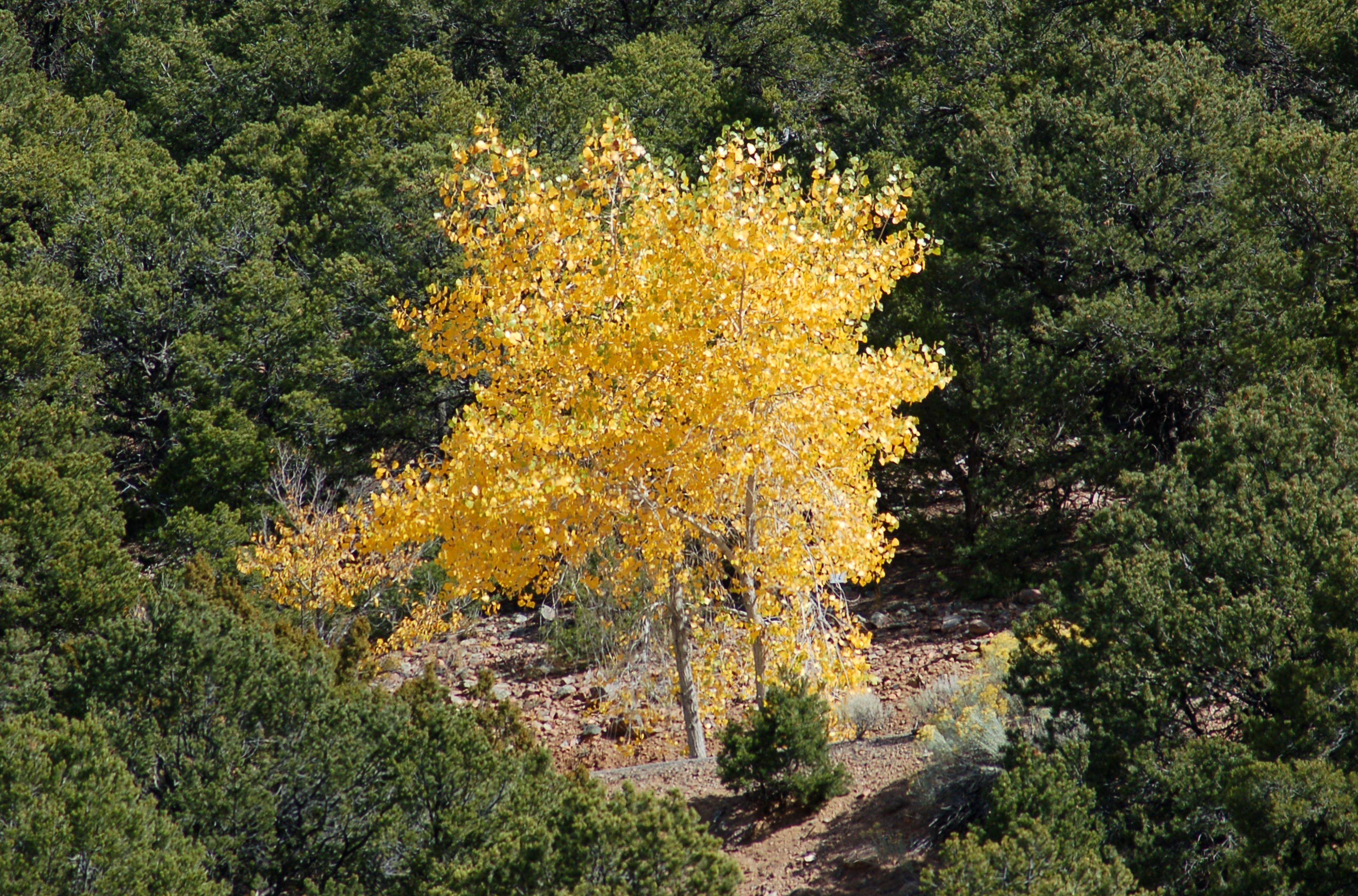 Imagen: follaje de otoño color de los álamos.