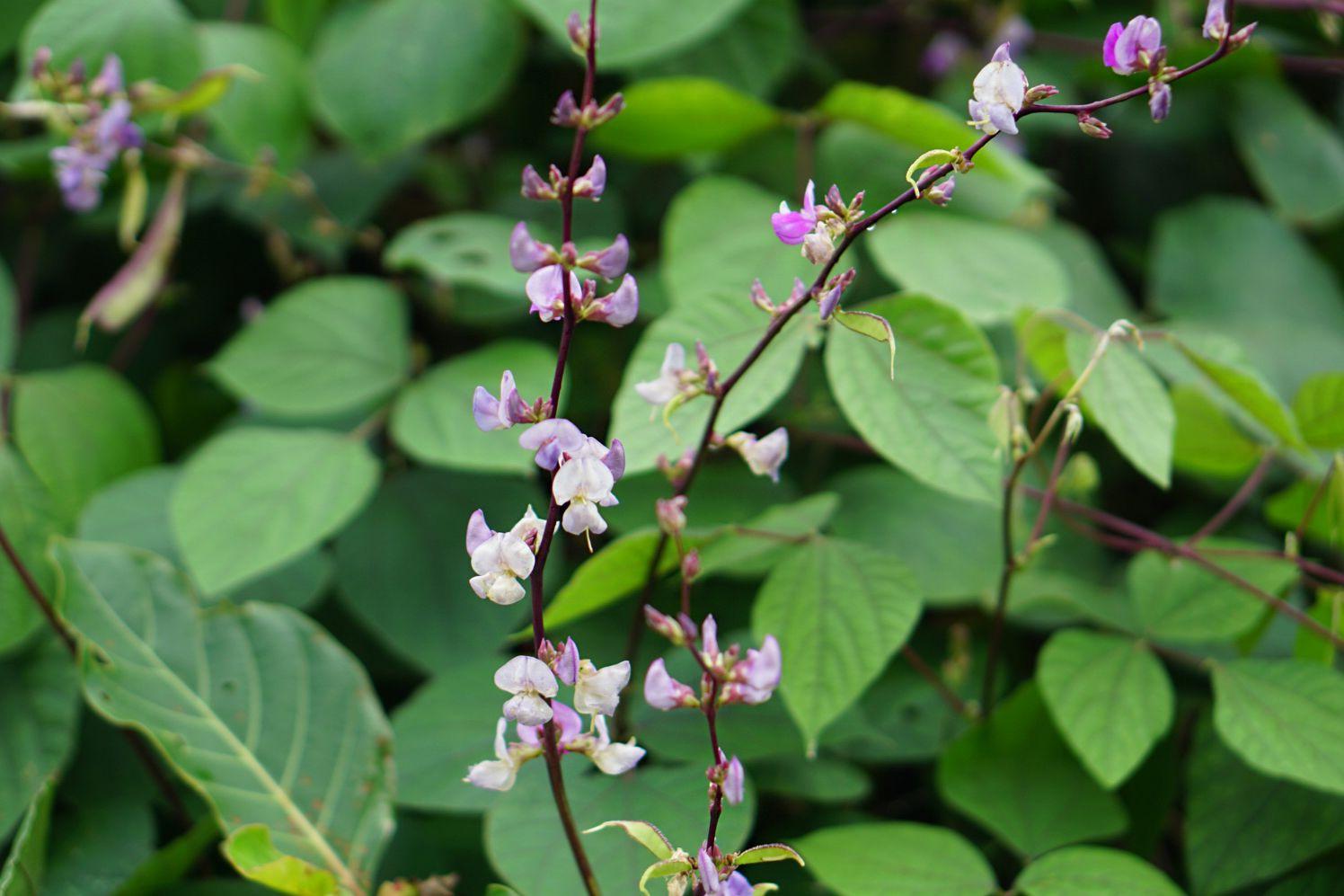 purple hyacinth bean plant