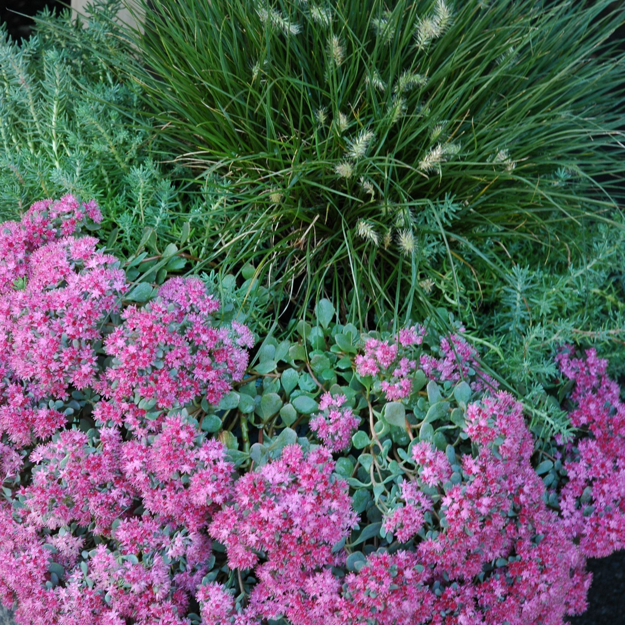 Sedum, grass, and rosemary in a container garden