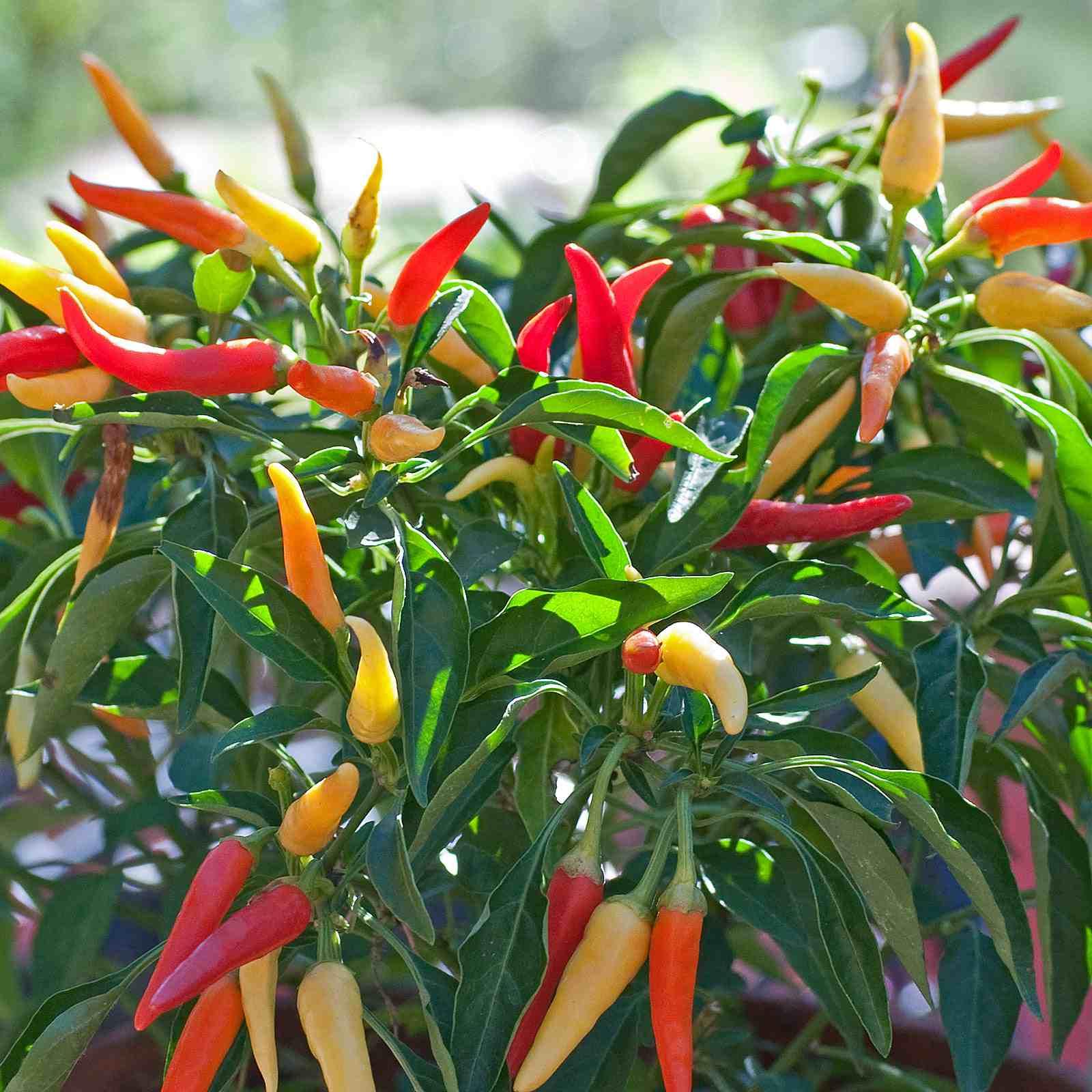 Growing ornamental hot peppers